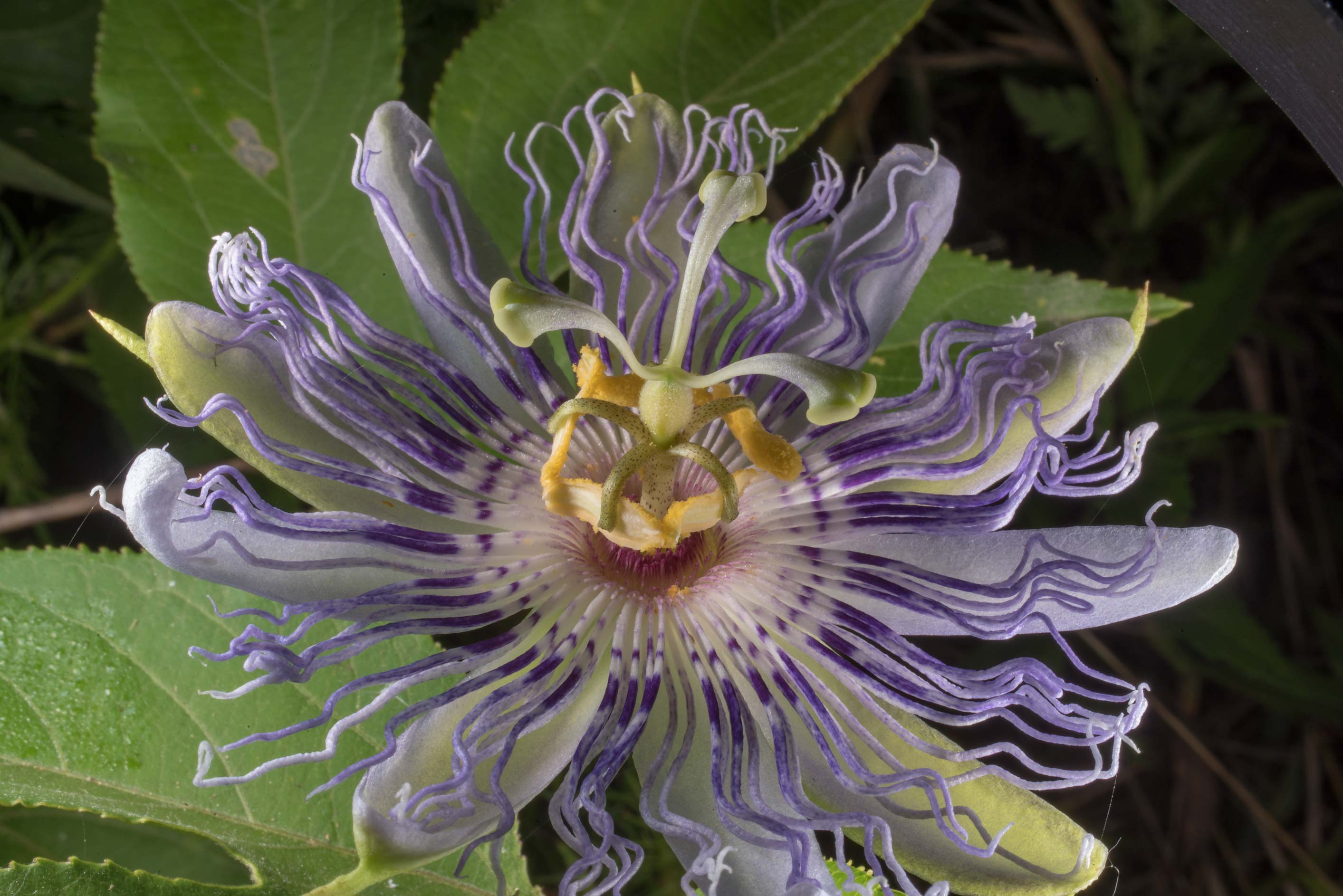Passion flower (maypop, Passiflora foetida) at...of Somerville Lake State Park. Texas