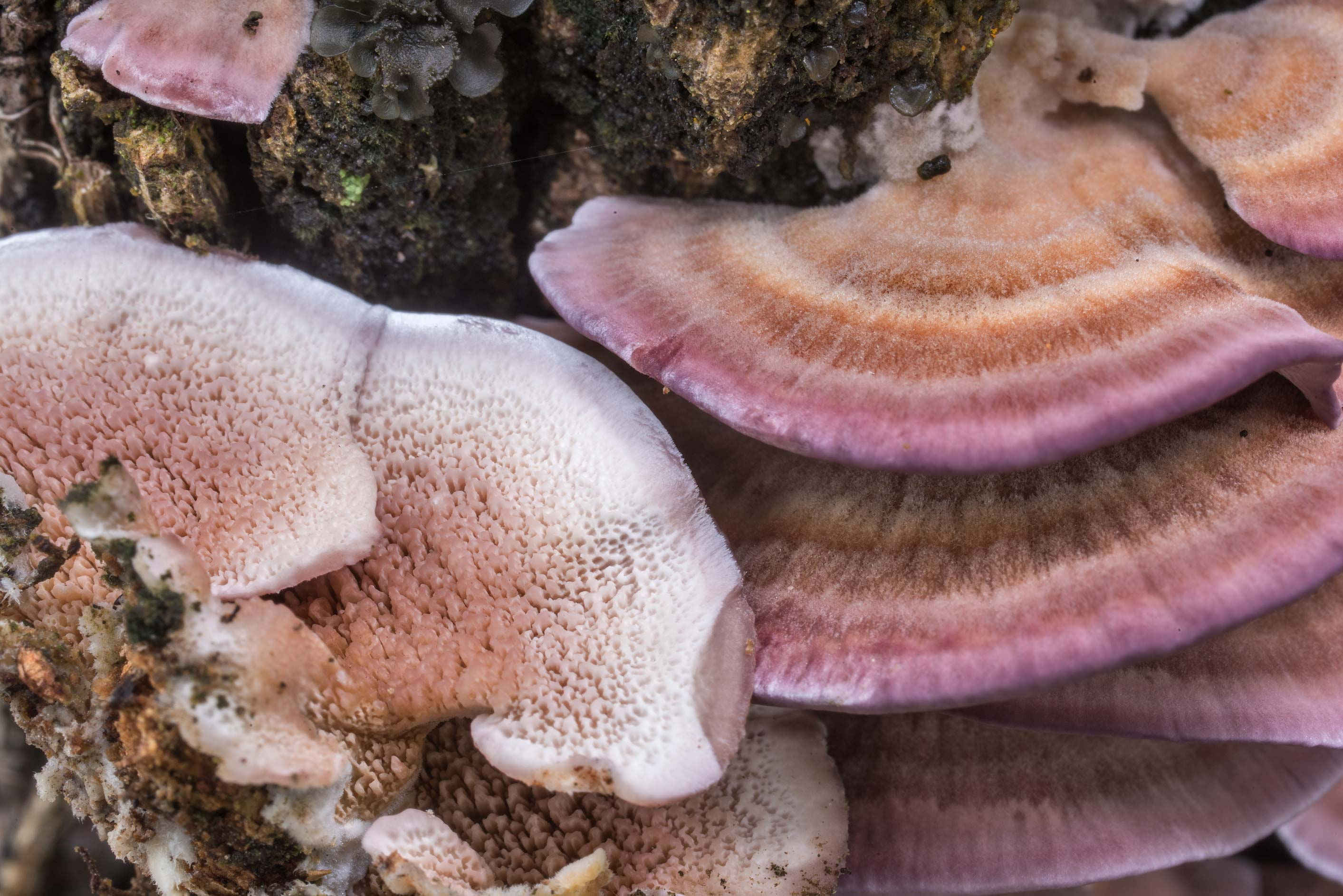 Violet toothed polypore mushrooms (Trichaptum...in Sam Houston National Forest. Texas