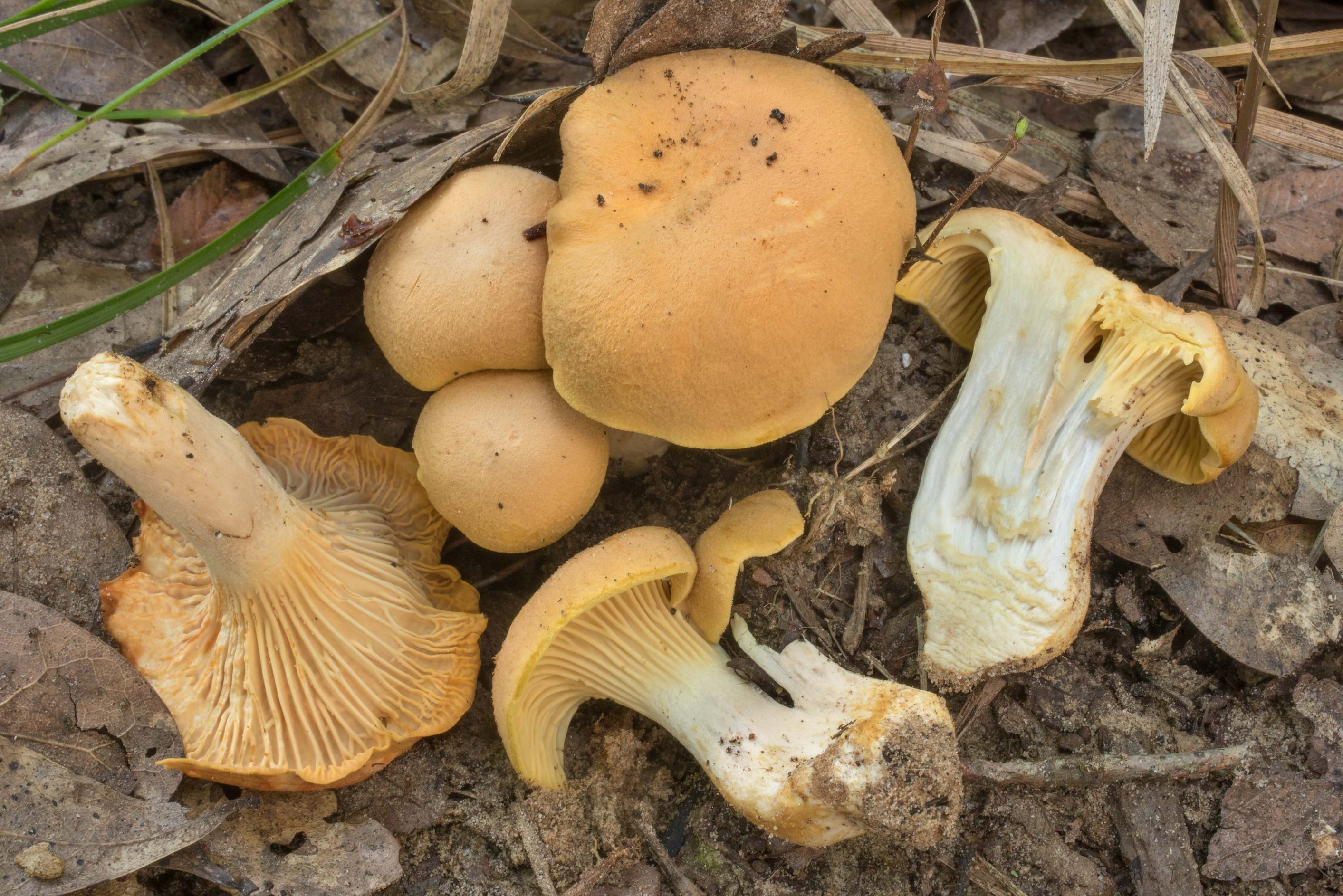Dissected chanterelle mushrooms (Cantharellus...Creek Park. College Station, Texas