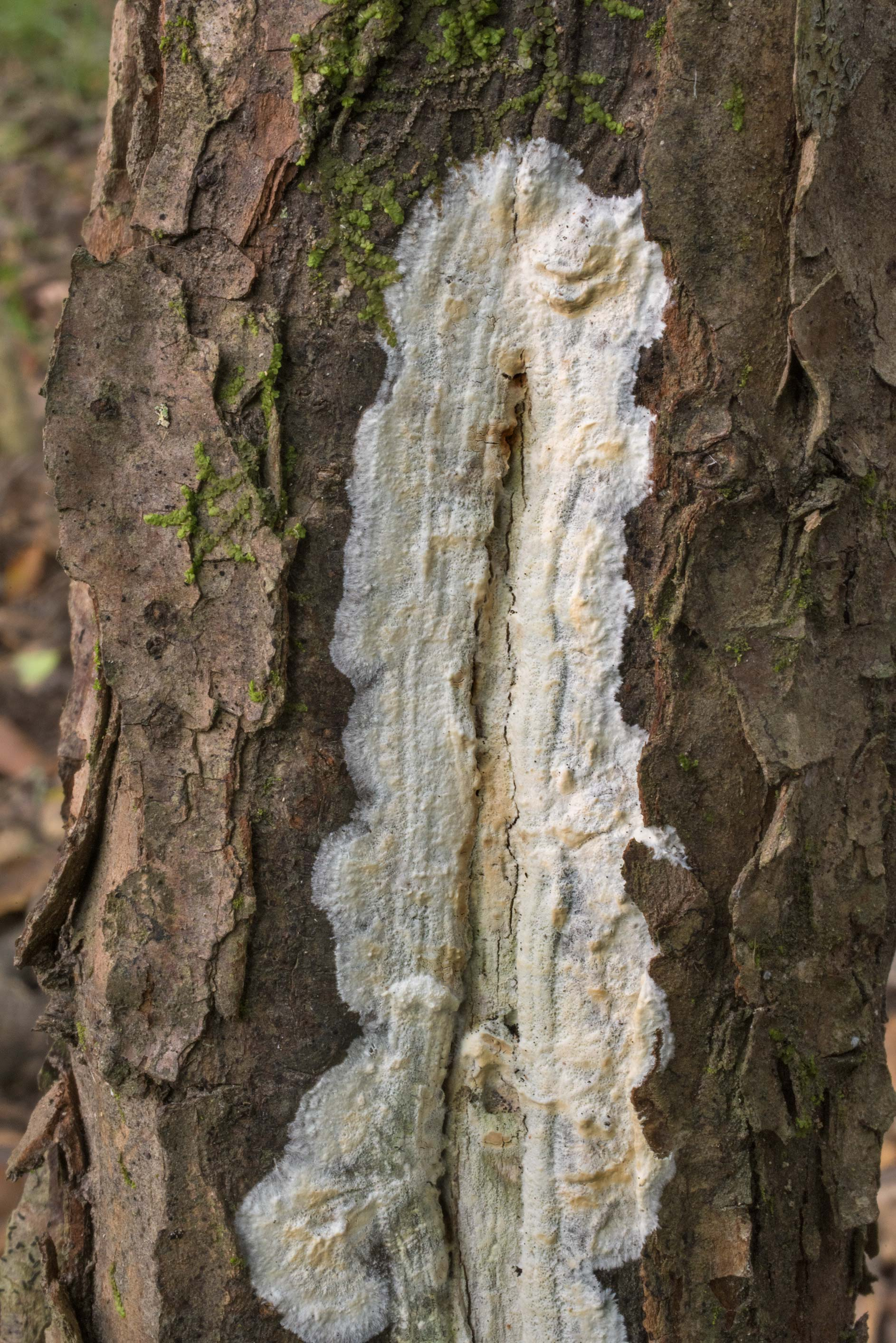White crust fungus around a damaged spot on a...Creek Park. College Station, Texas