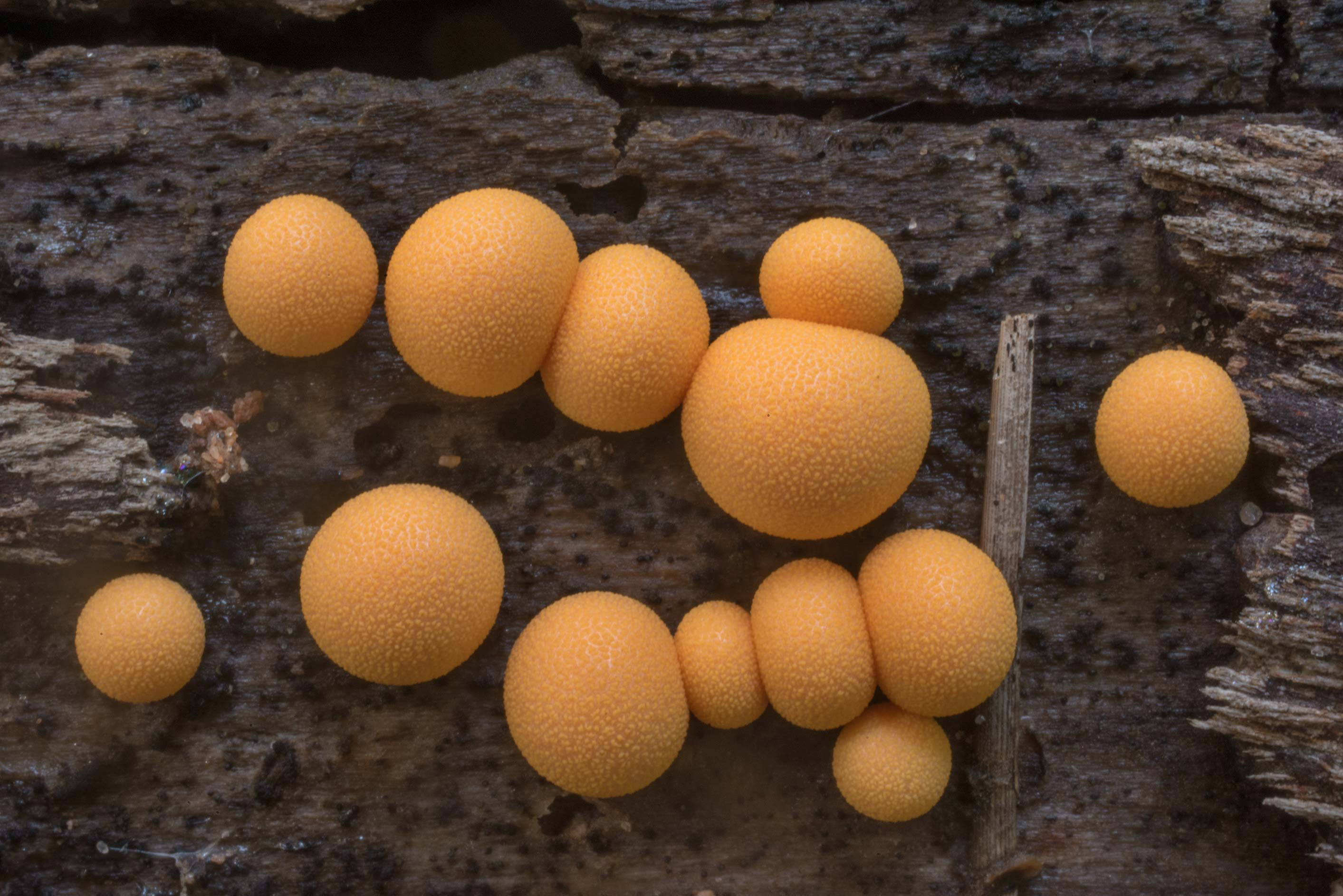 Wolf's Milk slime mold (Lycogala epidendrum) on a...Forest north from Montgomery. Texas