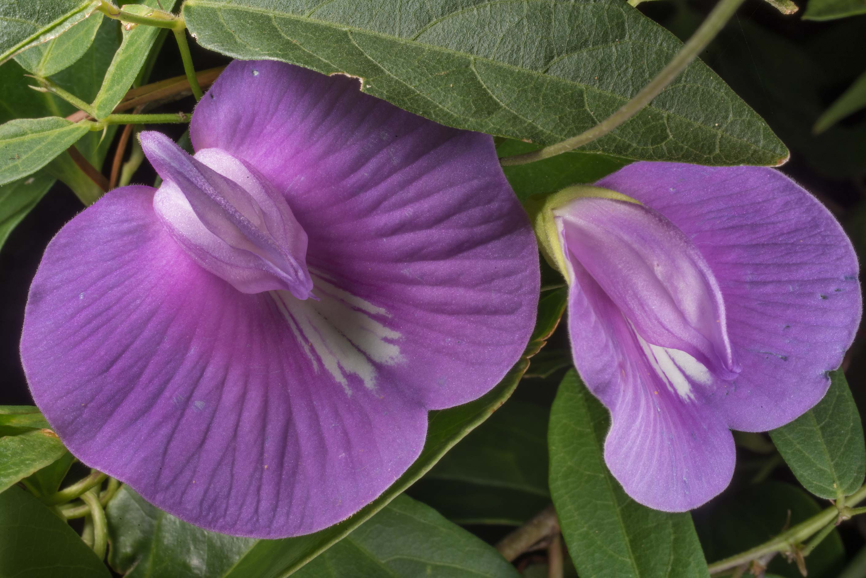 Blooming butterfly pea (Centrosema virginianum...in Sam Houston National Forest. Texas