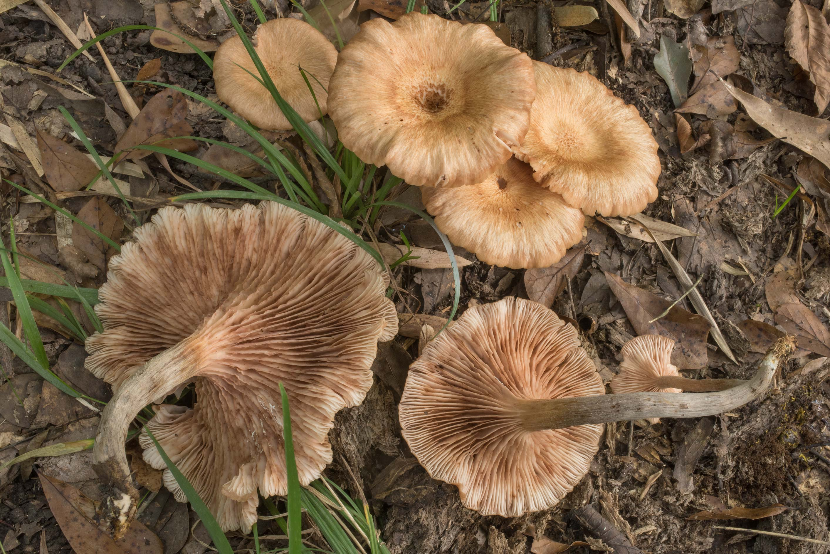 Mature ringless honey mushrooms (Desarmillaria...Forest north from Montgomery. Texas
