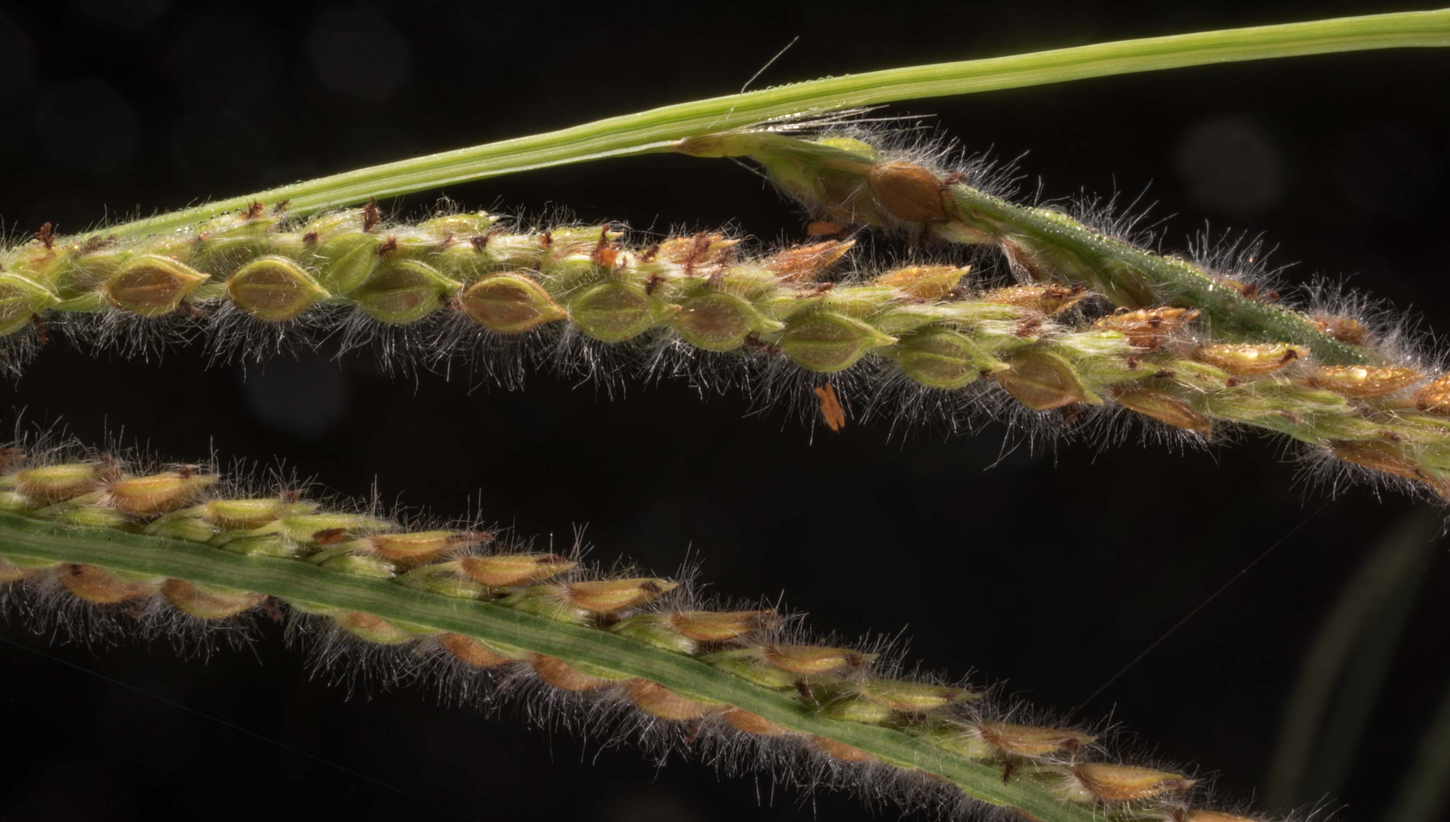 Close-up of Vasey-grass (Paspalum urvillei) on a...Creek Park. College Station, Texas