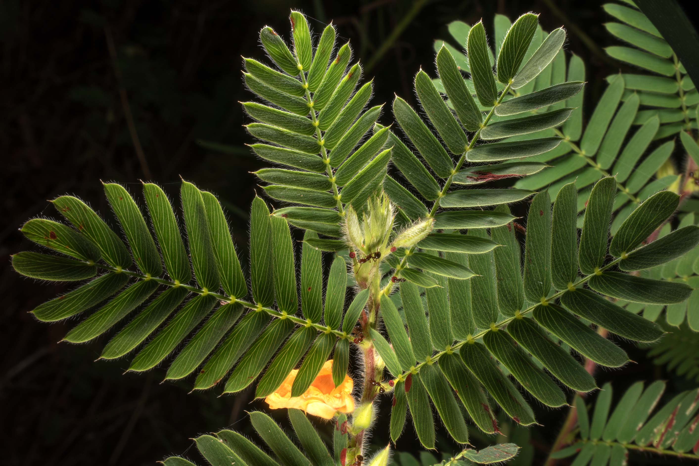 Back lit leaves of partridge pea (Cassia...of Somerville Lake State Park. Texas