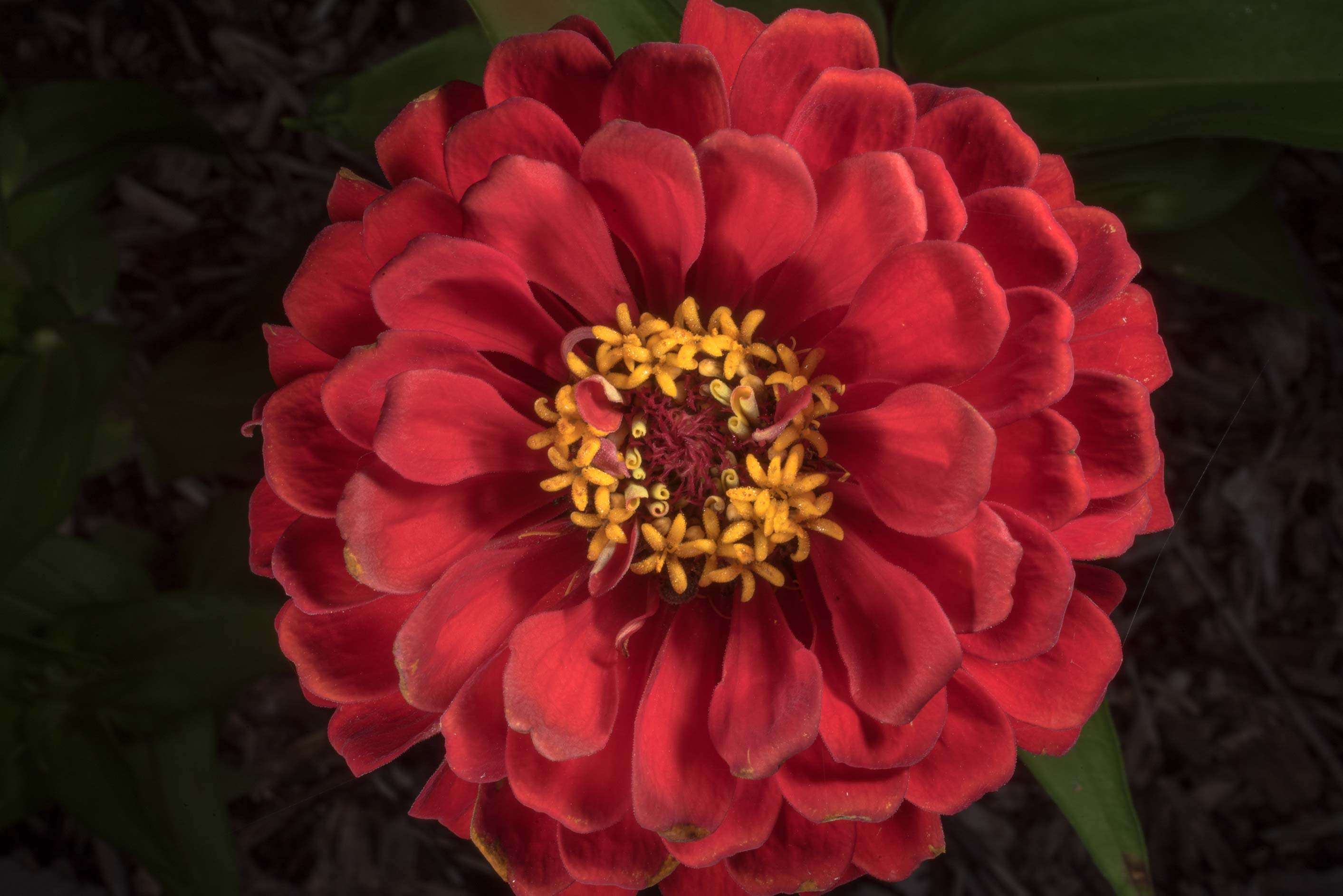 Red zinnia flower in D. A. Andy Anderson Brazos...Bee Creek Park. College Station, Texas