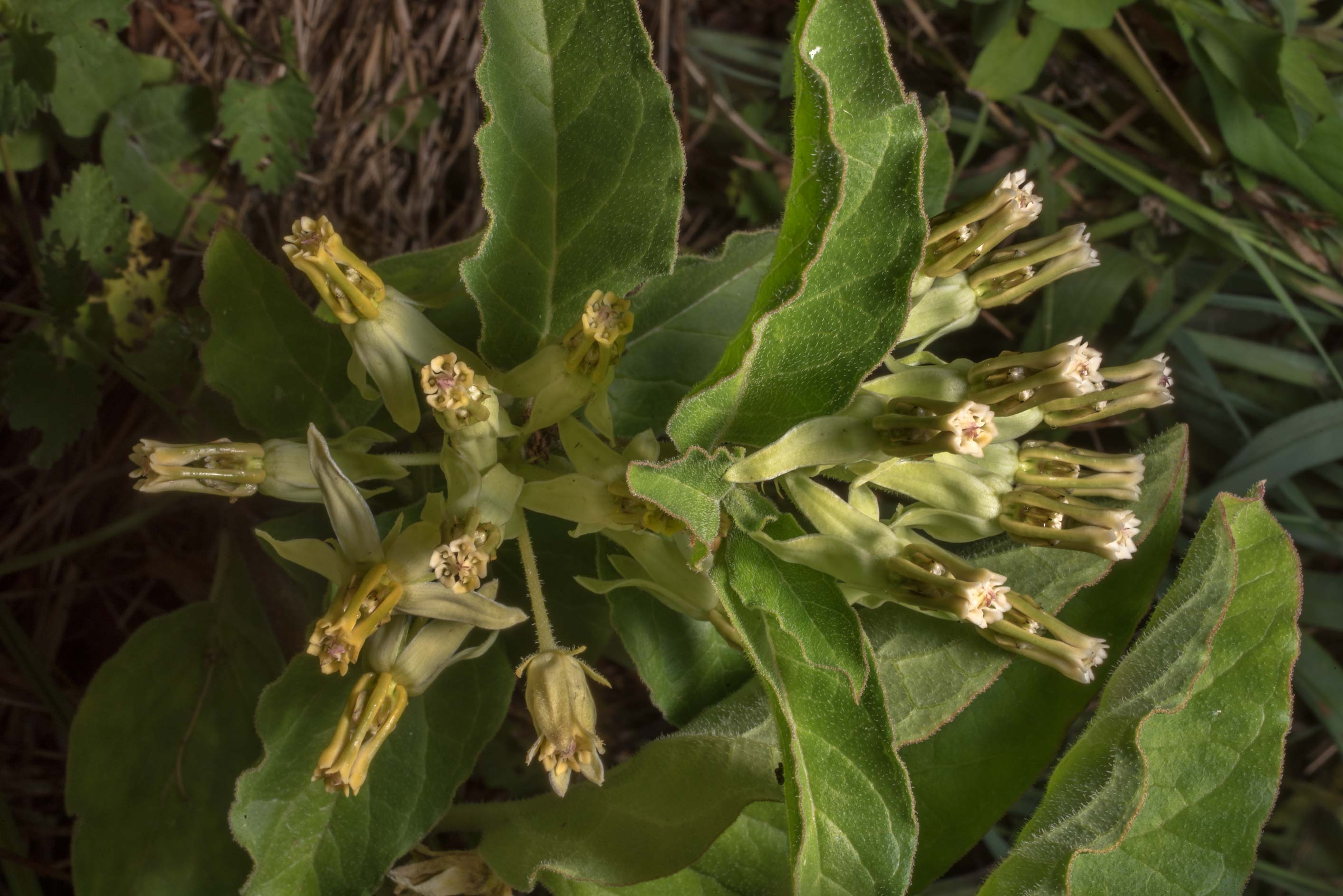 Flowers of Zizotes milkweed (Hierba de Zizotes...State Historic Site. Washington, Texas