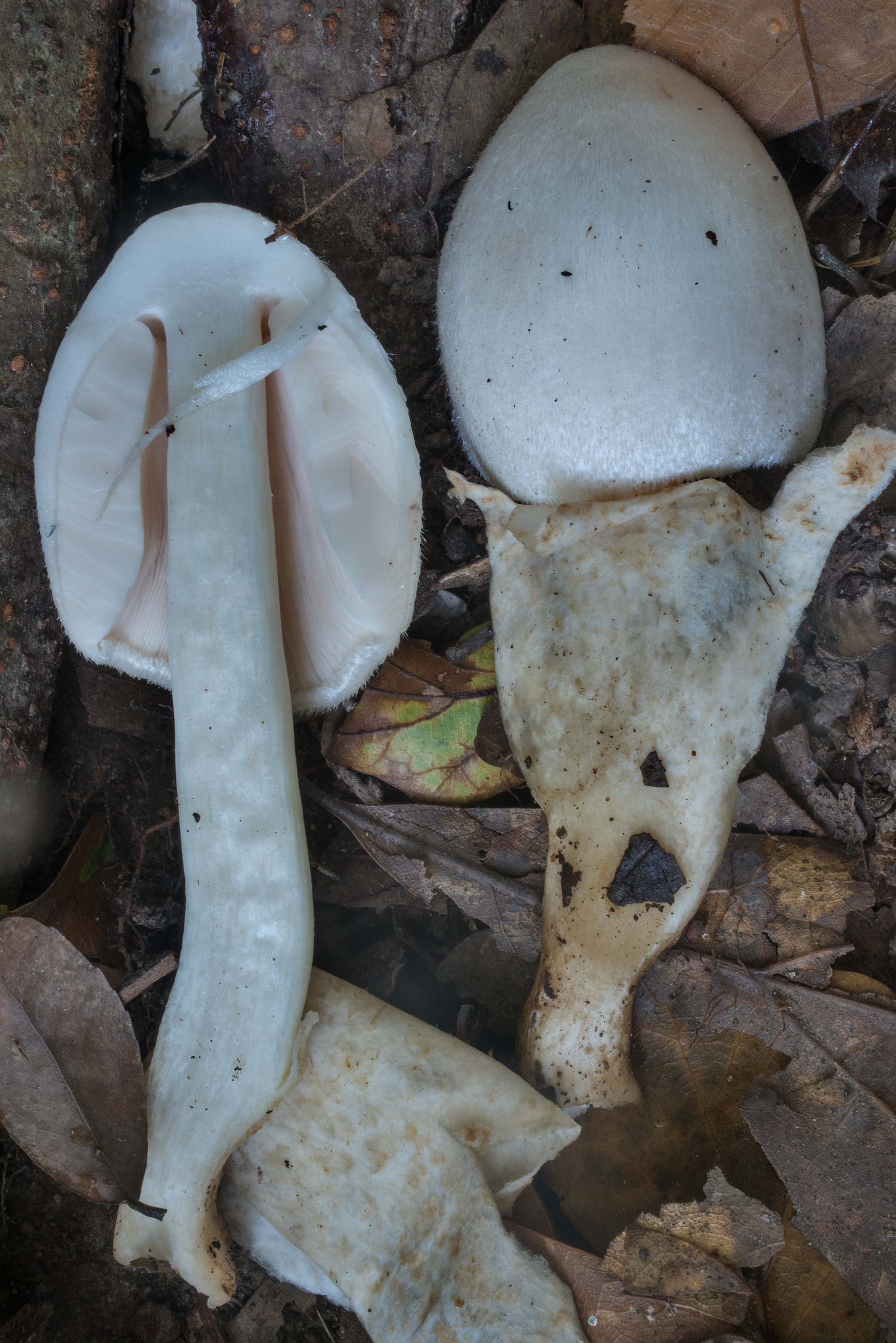 Dissected silky sheath mushroom (Volvariella...Creek Park. College Station, Texas