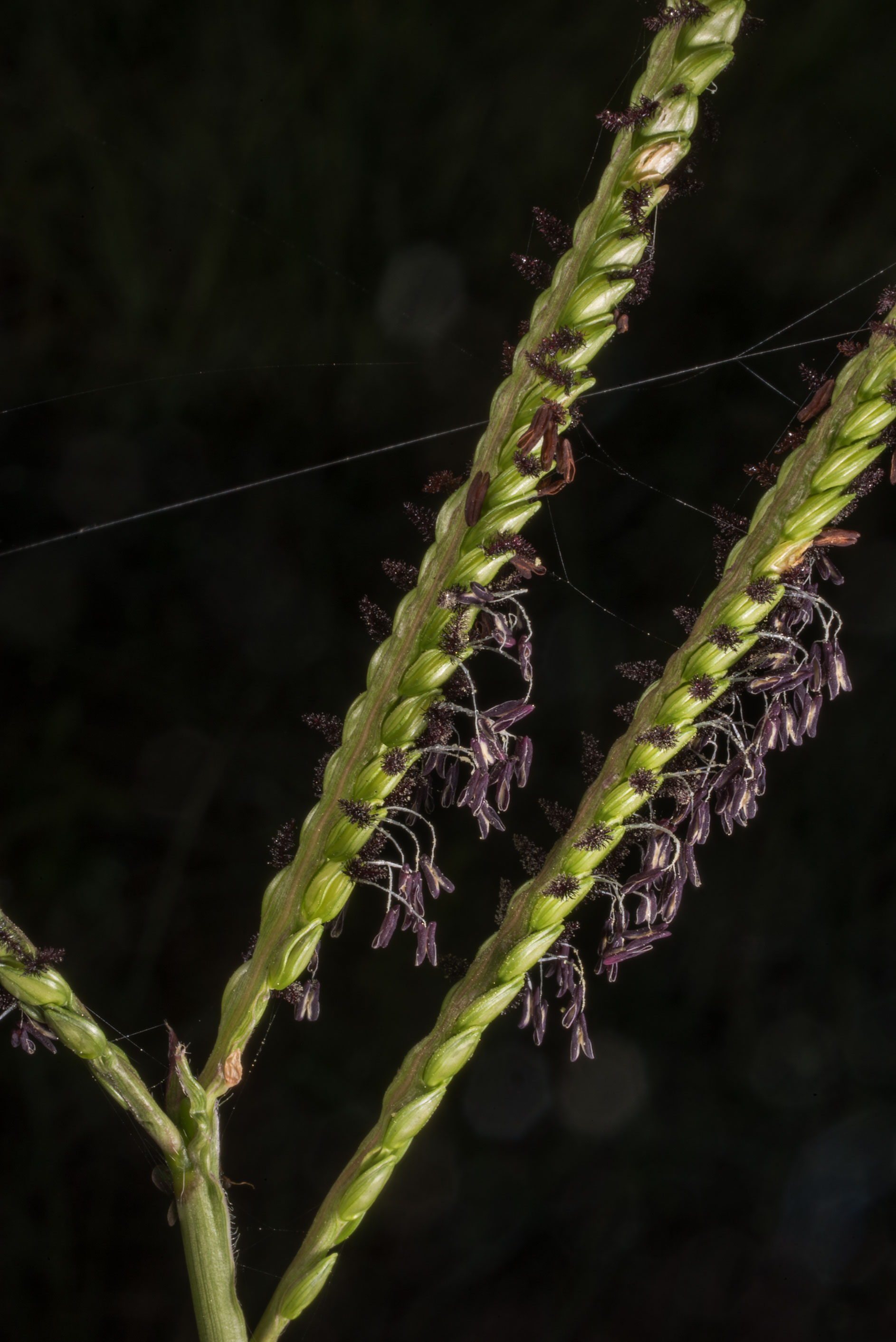 Bahia grass (Paspalum notatum) with black anthers...State Historic Site. Washington, Texas