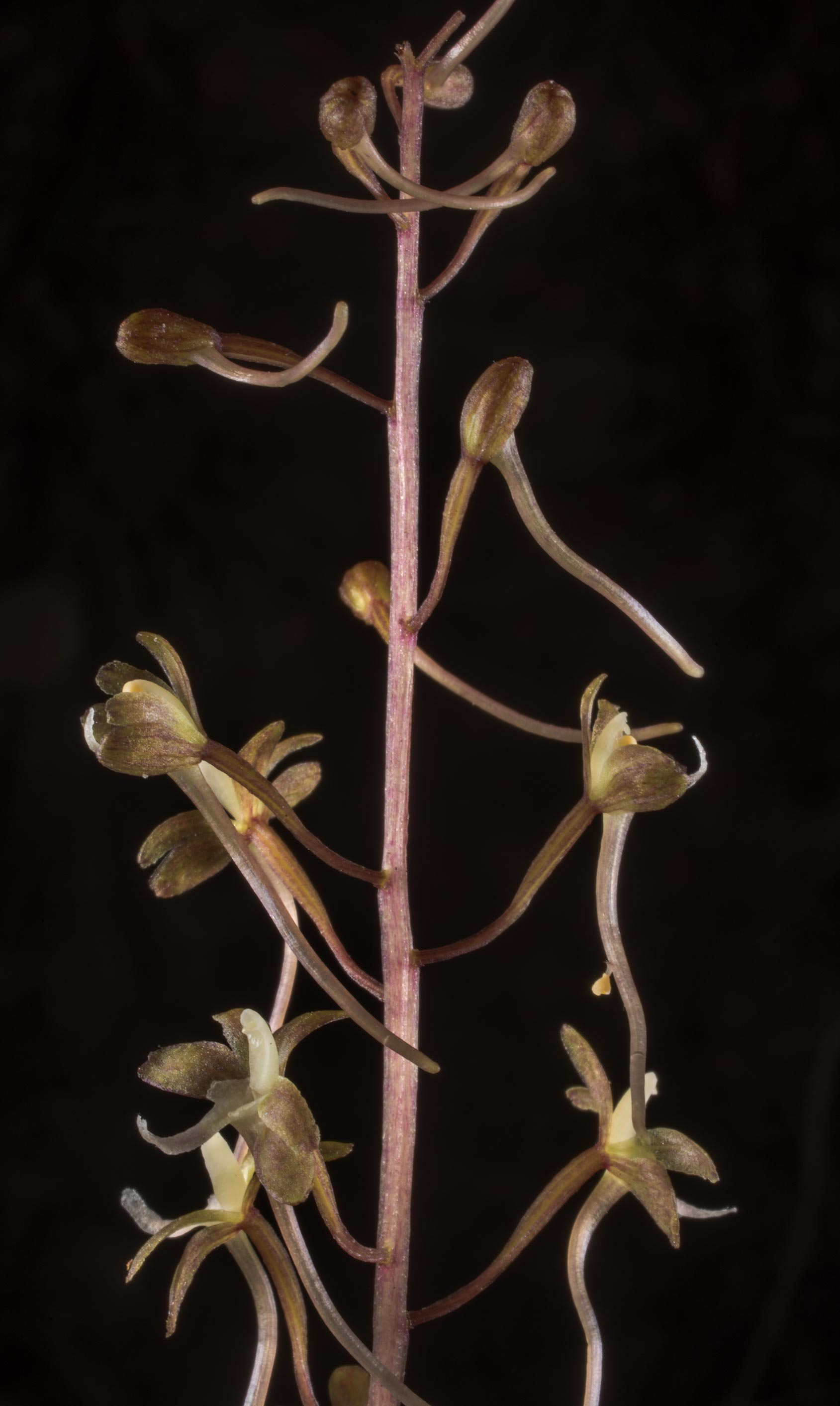 Top part of inflorescence of crane-fly orchid...Forest north from Montgomery. Texas