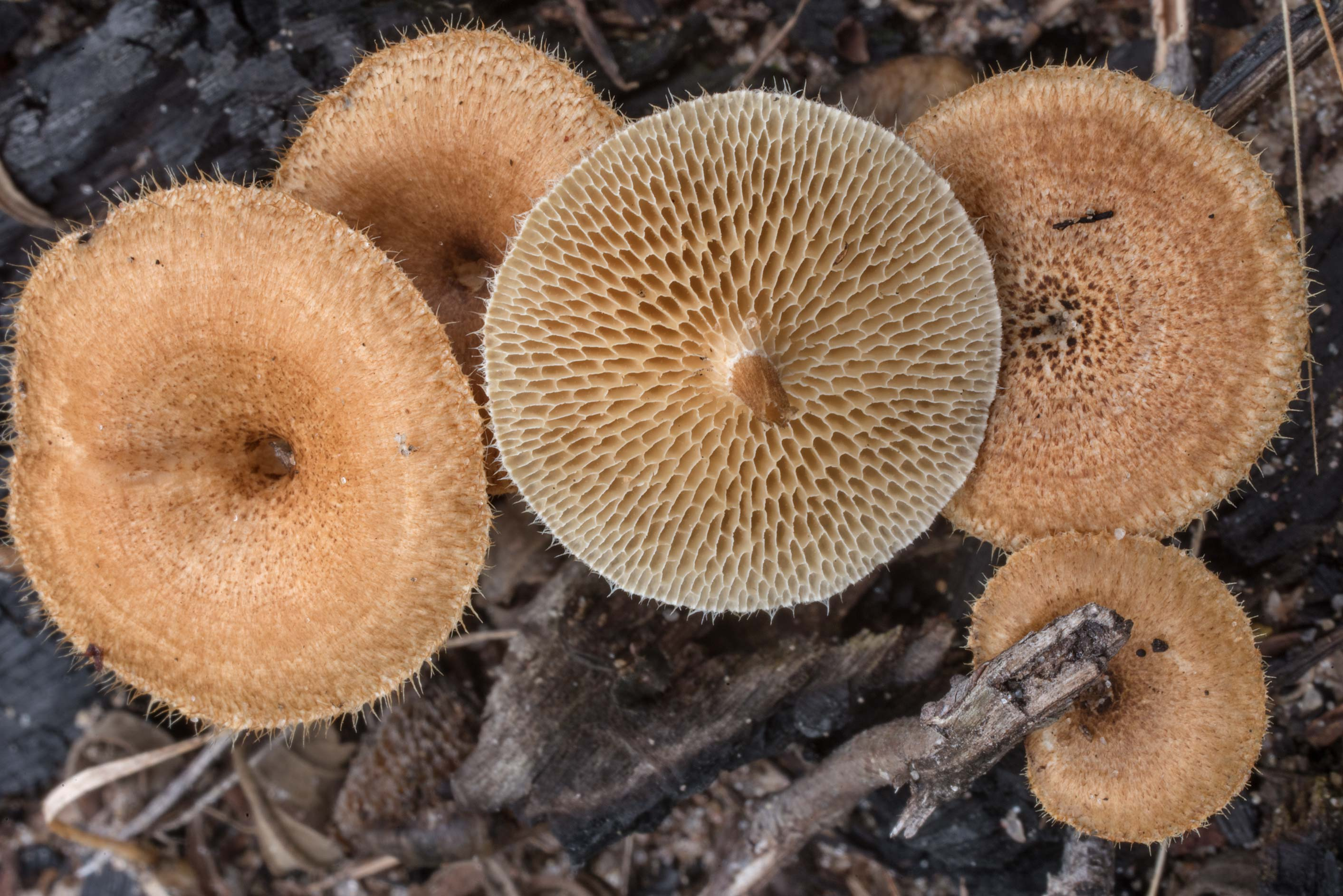 Common fieldcap mushrooms (Agrocybe pediades) on...in Bastrop State Park. Bastrop, Texas