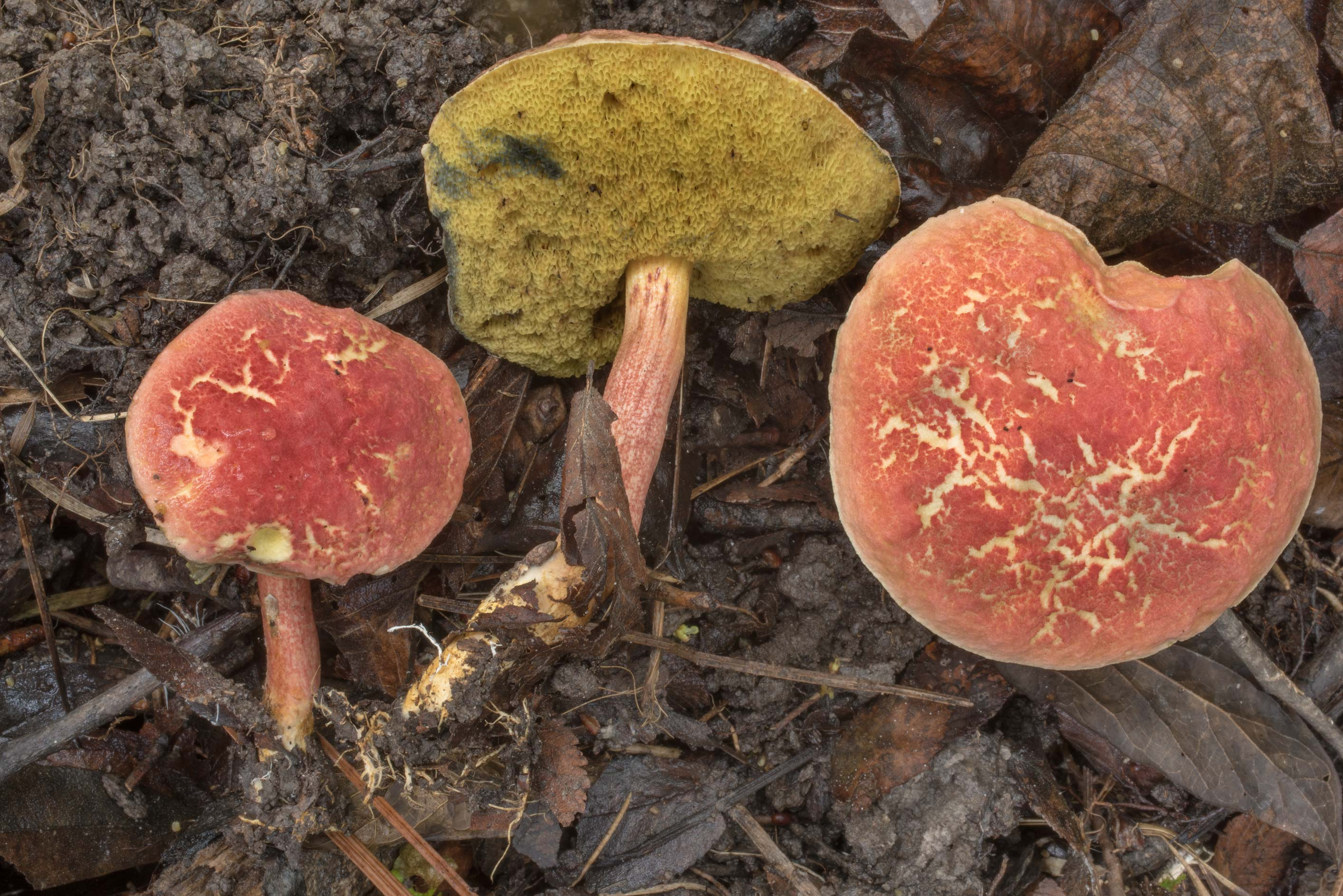 Boletus subfraternus mushrooms on floodplain on...Forest north from Montgomery. Texas