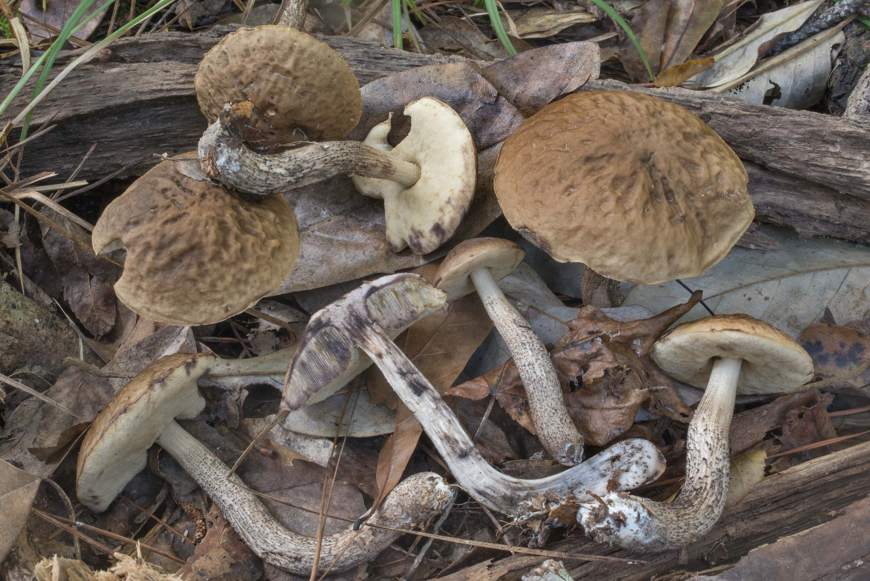 Dissected Snell's bolete mushrooms (Leccinum...National Forest. Shepherd, Texas