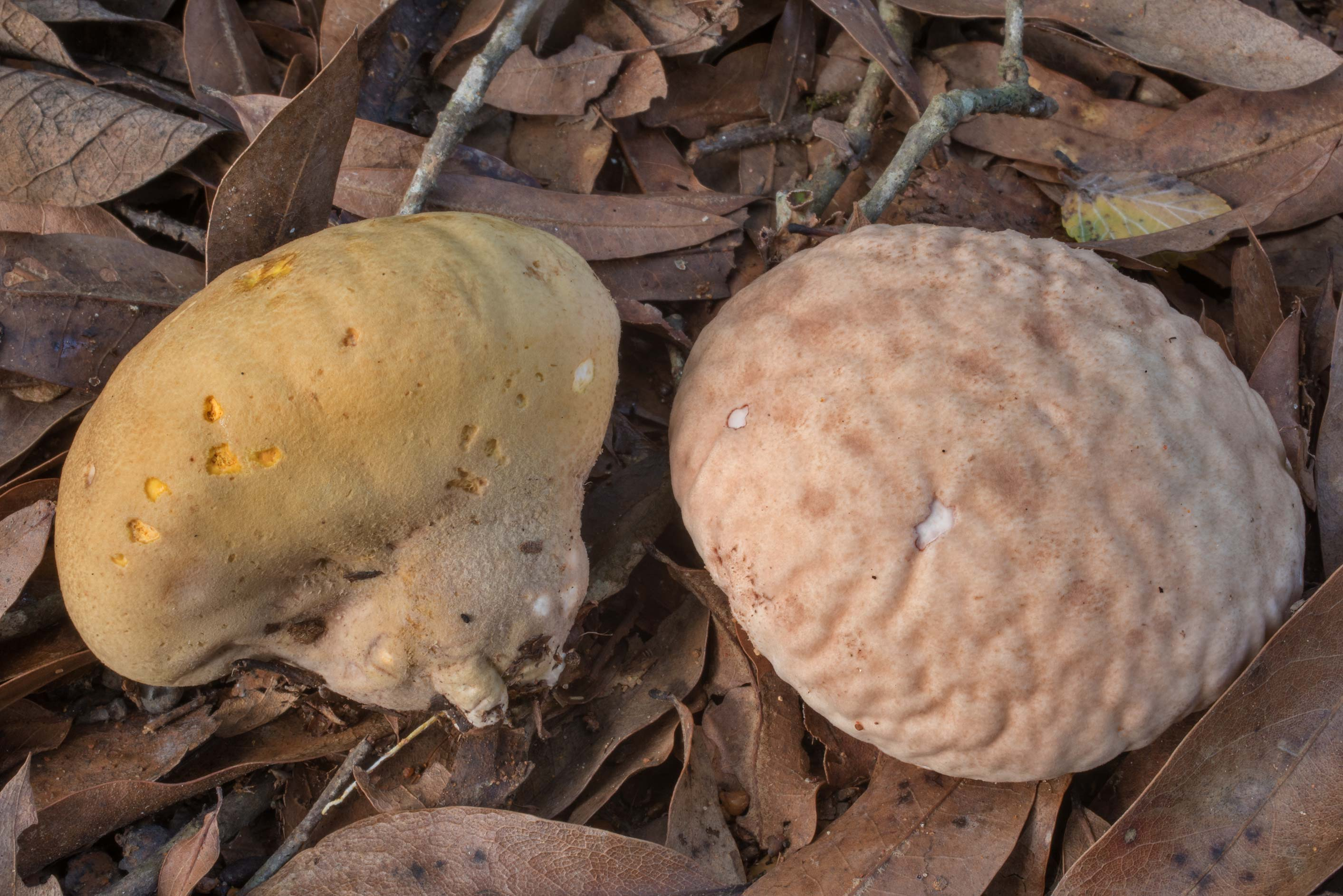 Wrinkled surface of orange-staining puffball...Creek Park. College Station, Texas