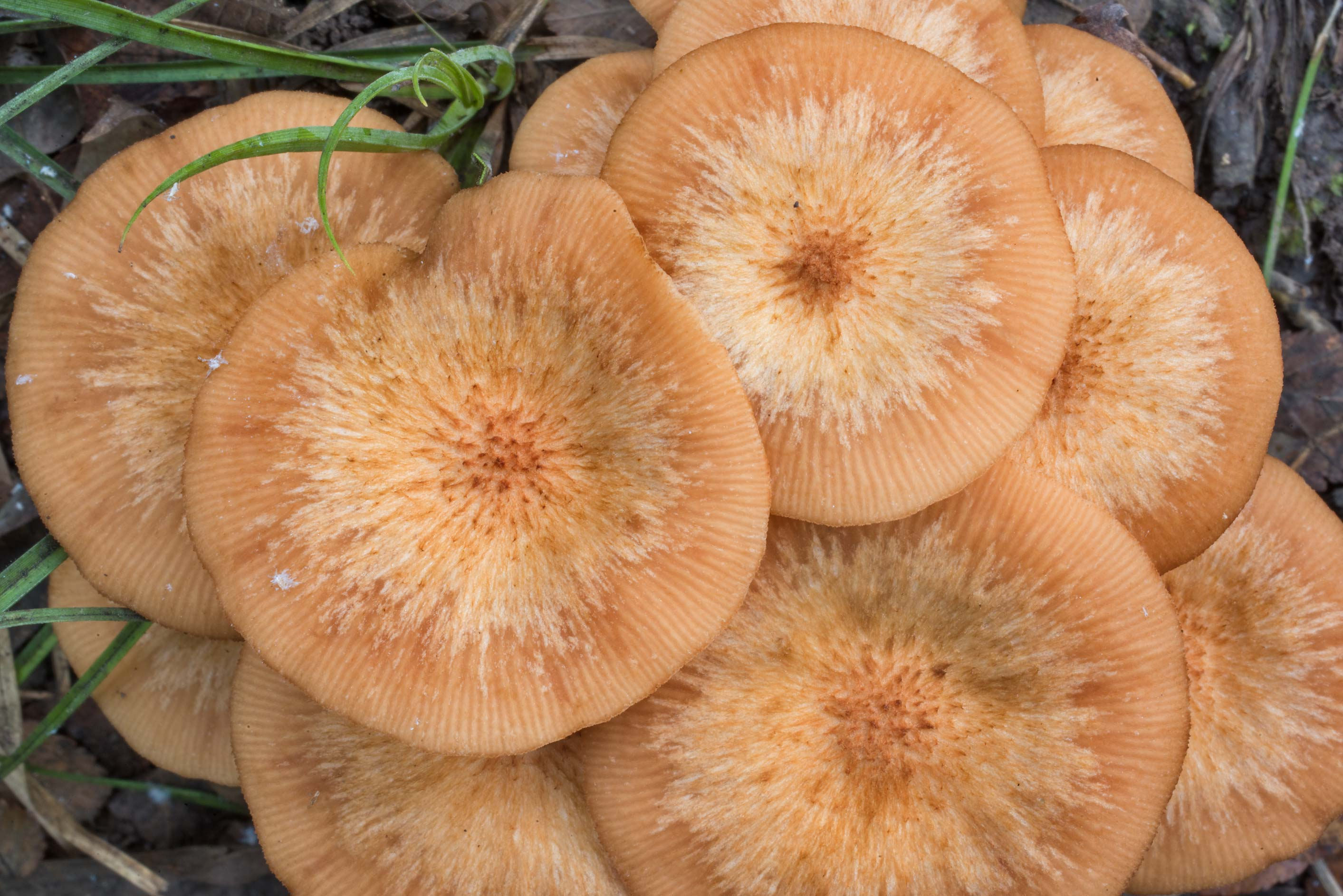 Ringless honey fungus (Desarmillaria tabescens...Forest north from Montgomery. Texas