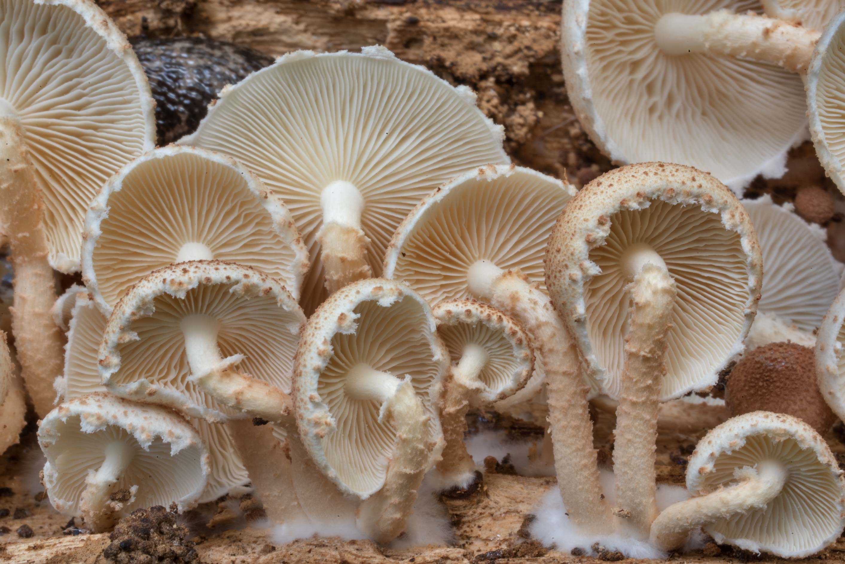 Lower view mushrooms Ripartitella brasiliensis on...Forest north from Montgomery. Texas