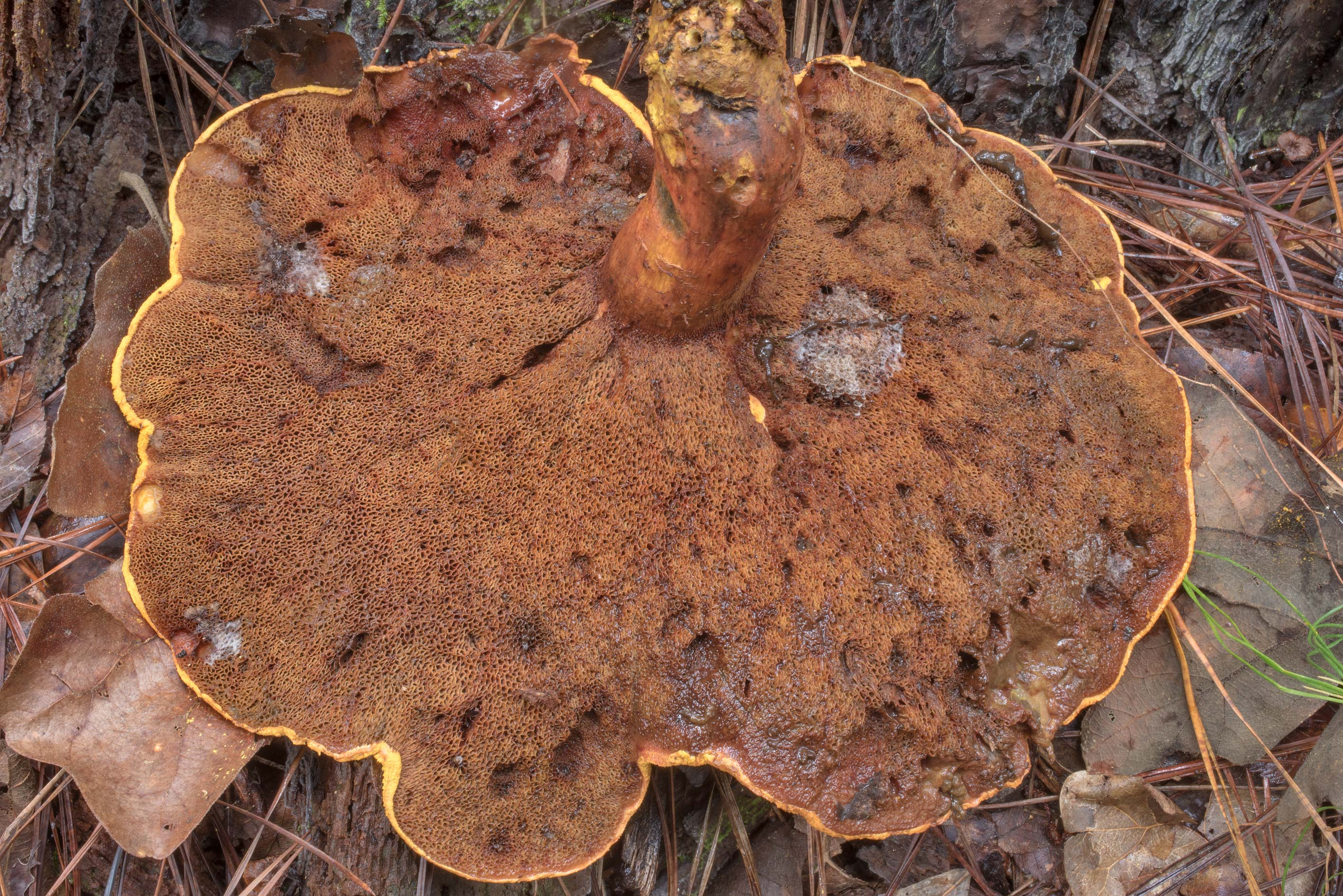 Pore surface of a large bolete mushroom...Trail in Huntsville State Park. Texas