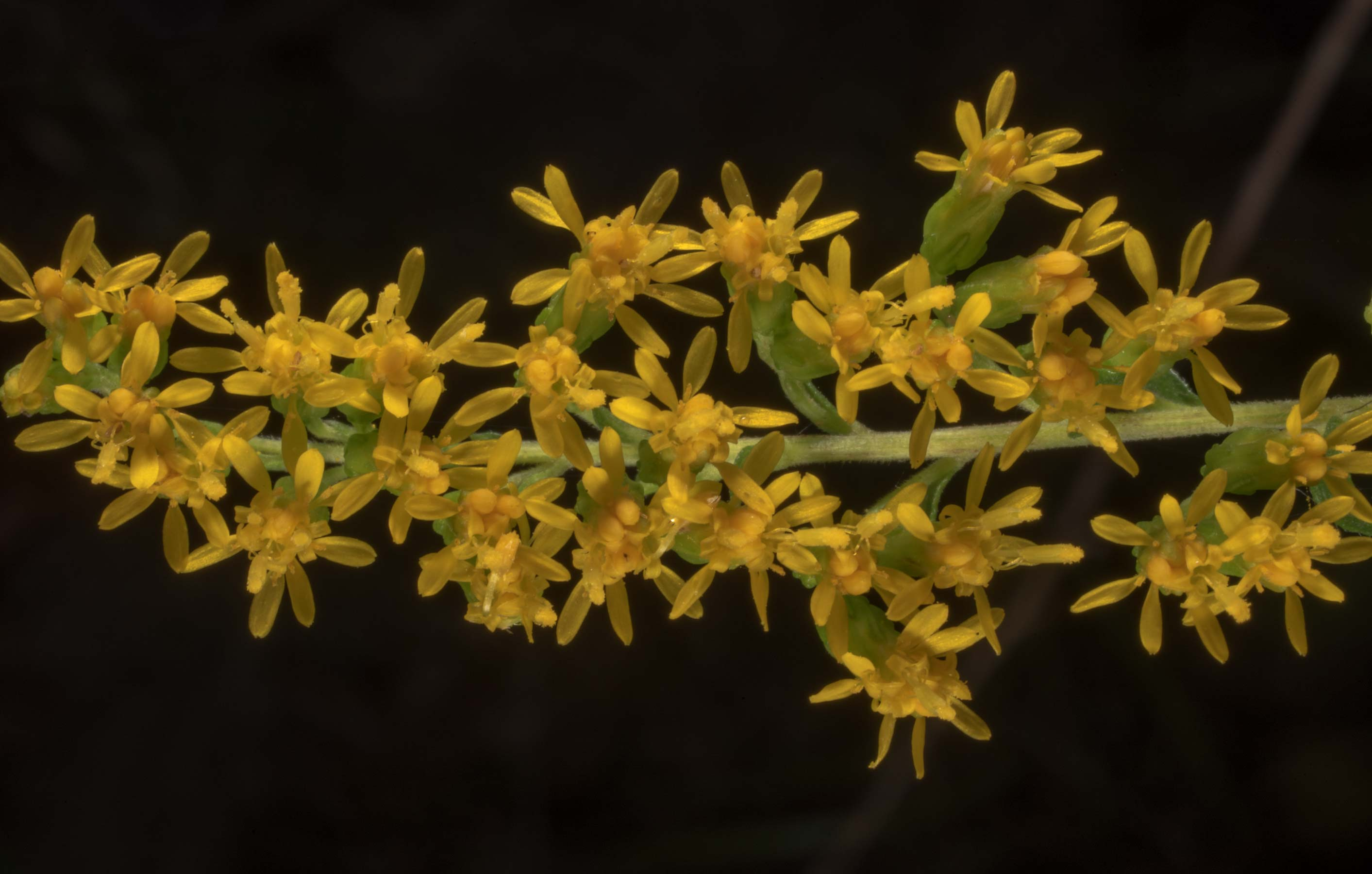 Goldenrod (Solidago) on Stubblefield section of...in Sam Houston National Forest. Texas