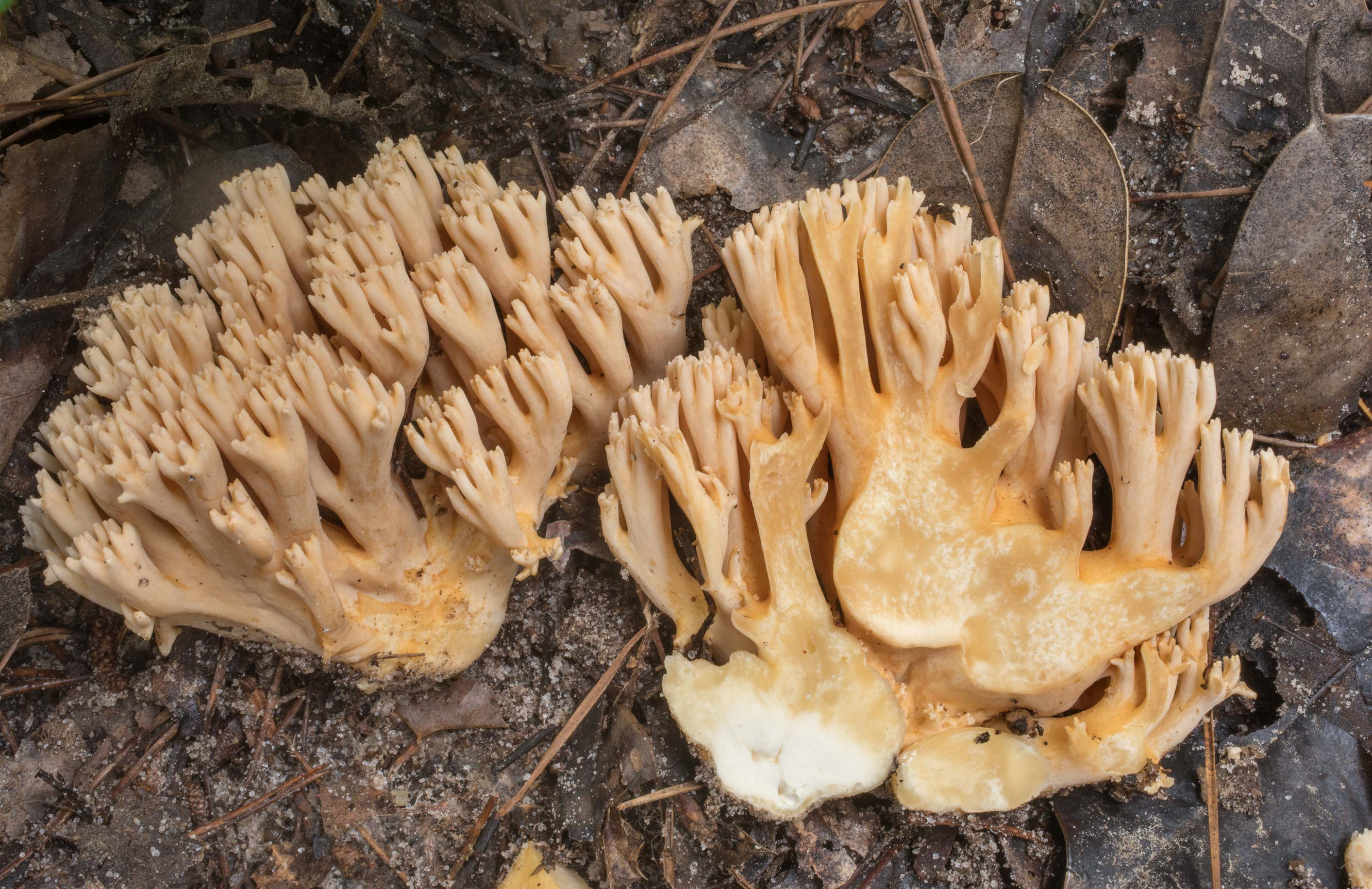 Cross section of salmon coral mushrooms (Ramaria...National Preserve. Warren, Texas
