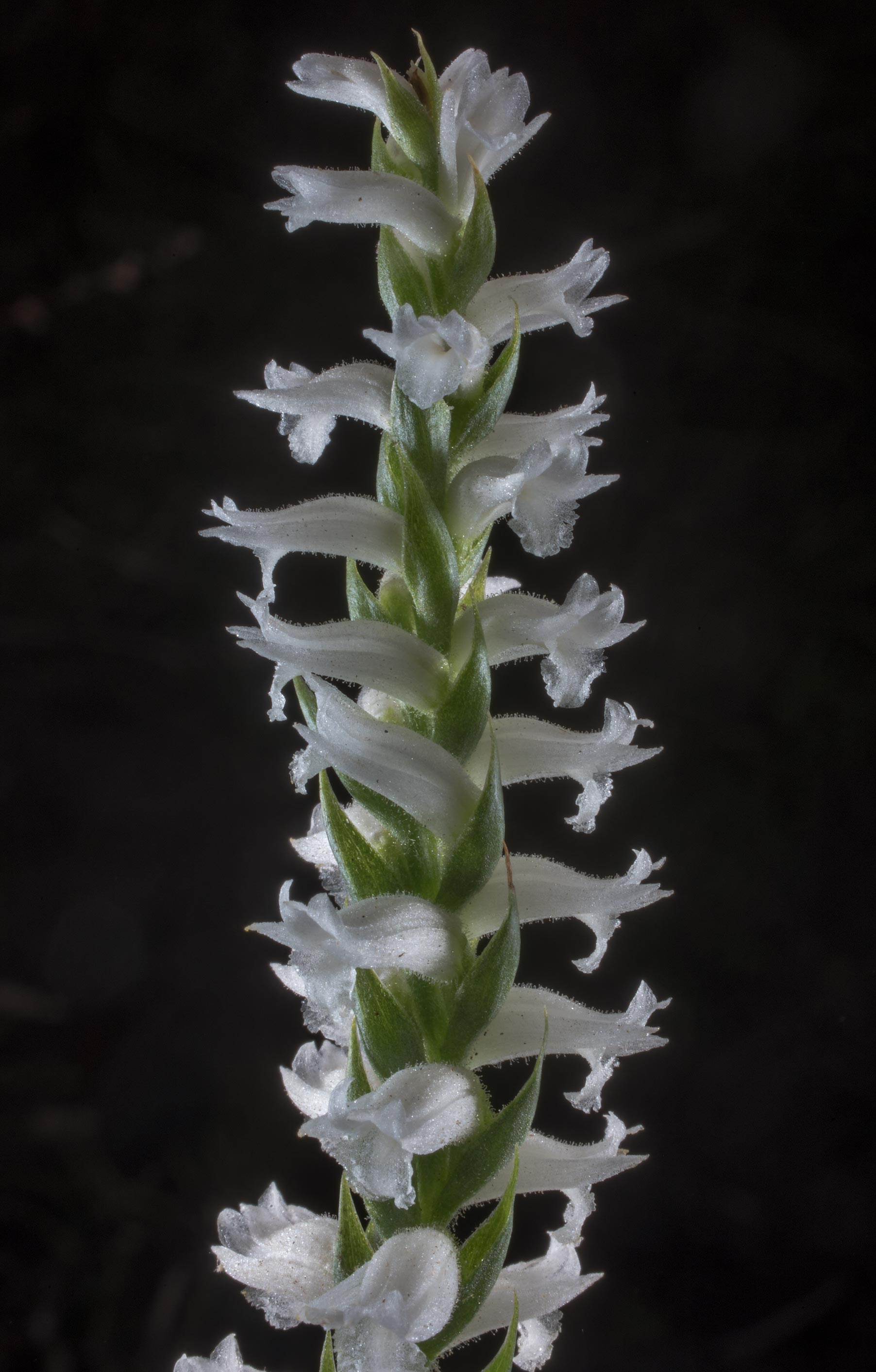 Nodding ladies-tresses orchid (Spiranthes cernua...in Sam Houston National Forest. Texas