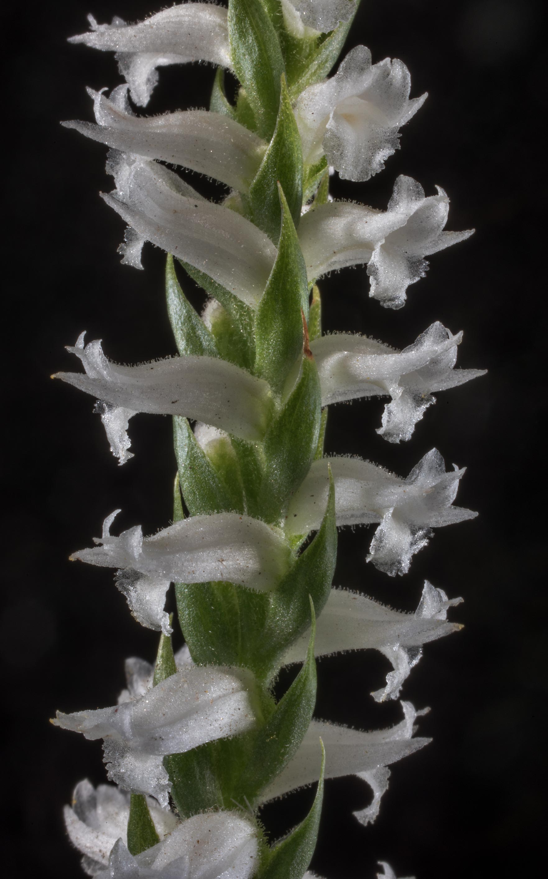 Flowers of nodding ladies-tresses orchid...in Sam Houston National Forest. Texas