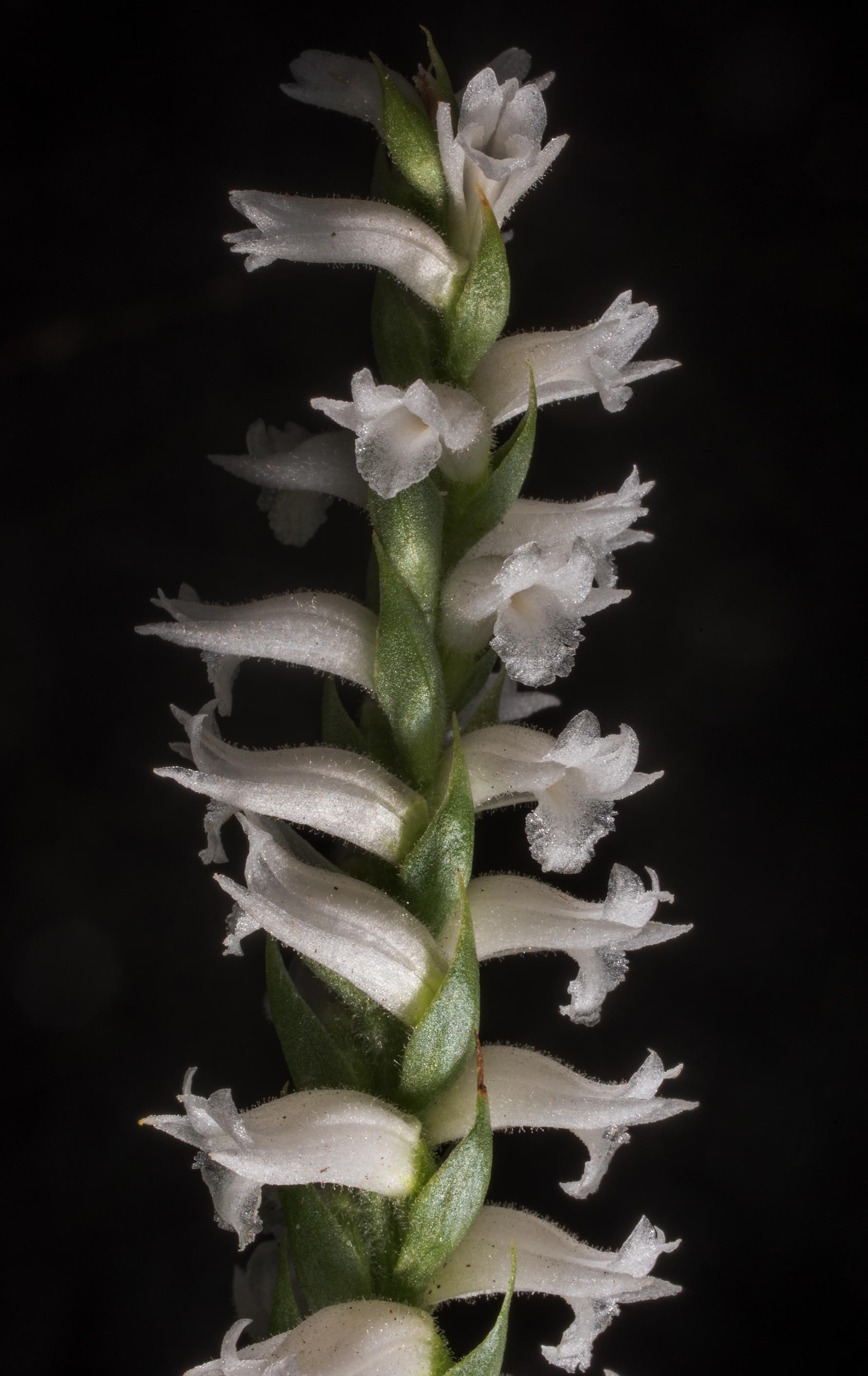 Inflorescence of nodding ladies-tresses orchid...in Sam Houston National Forest. Texas