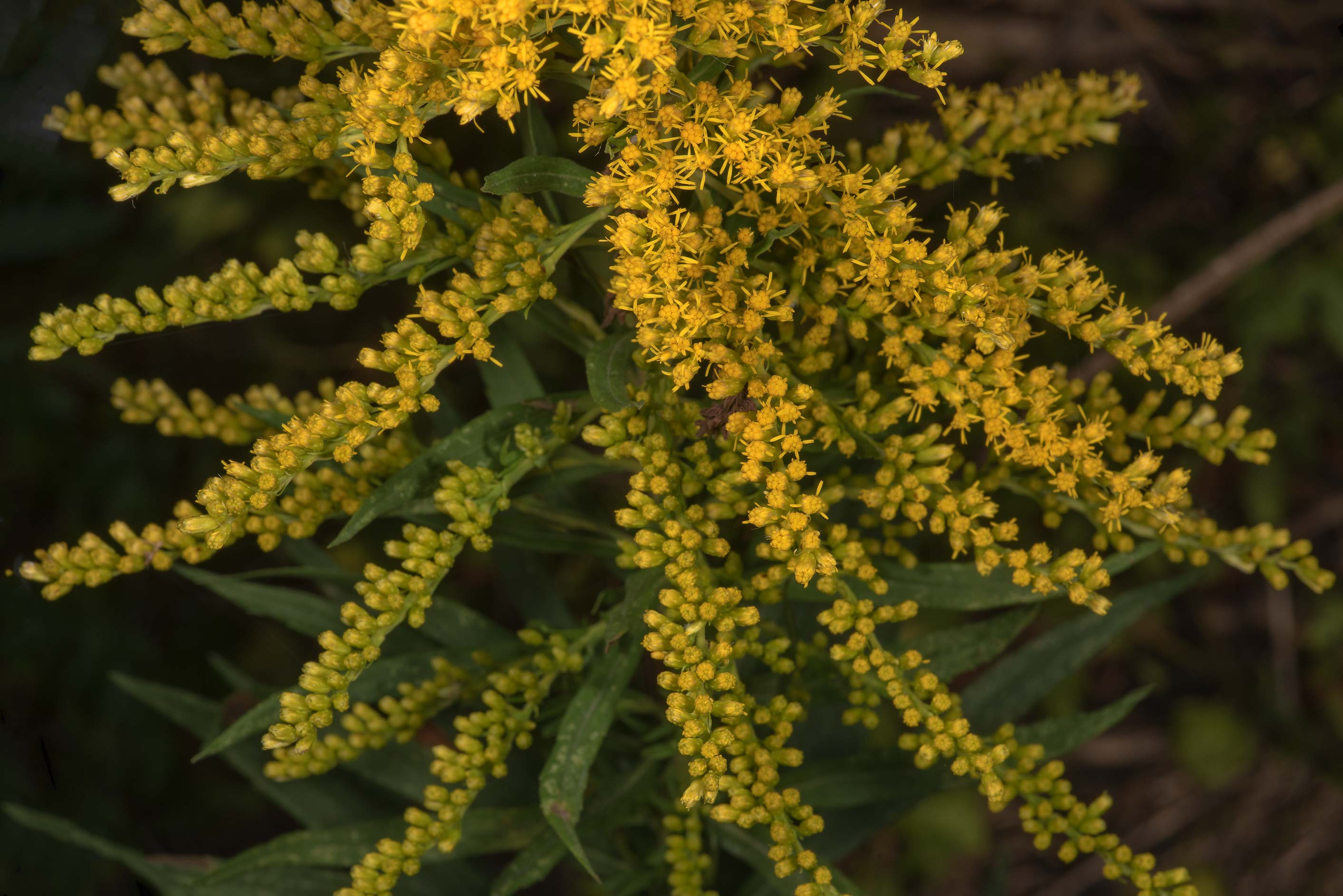Goldenrod (Solidago) in a dried pond in...State Historic Site. Washington, Texas