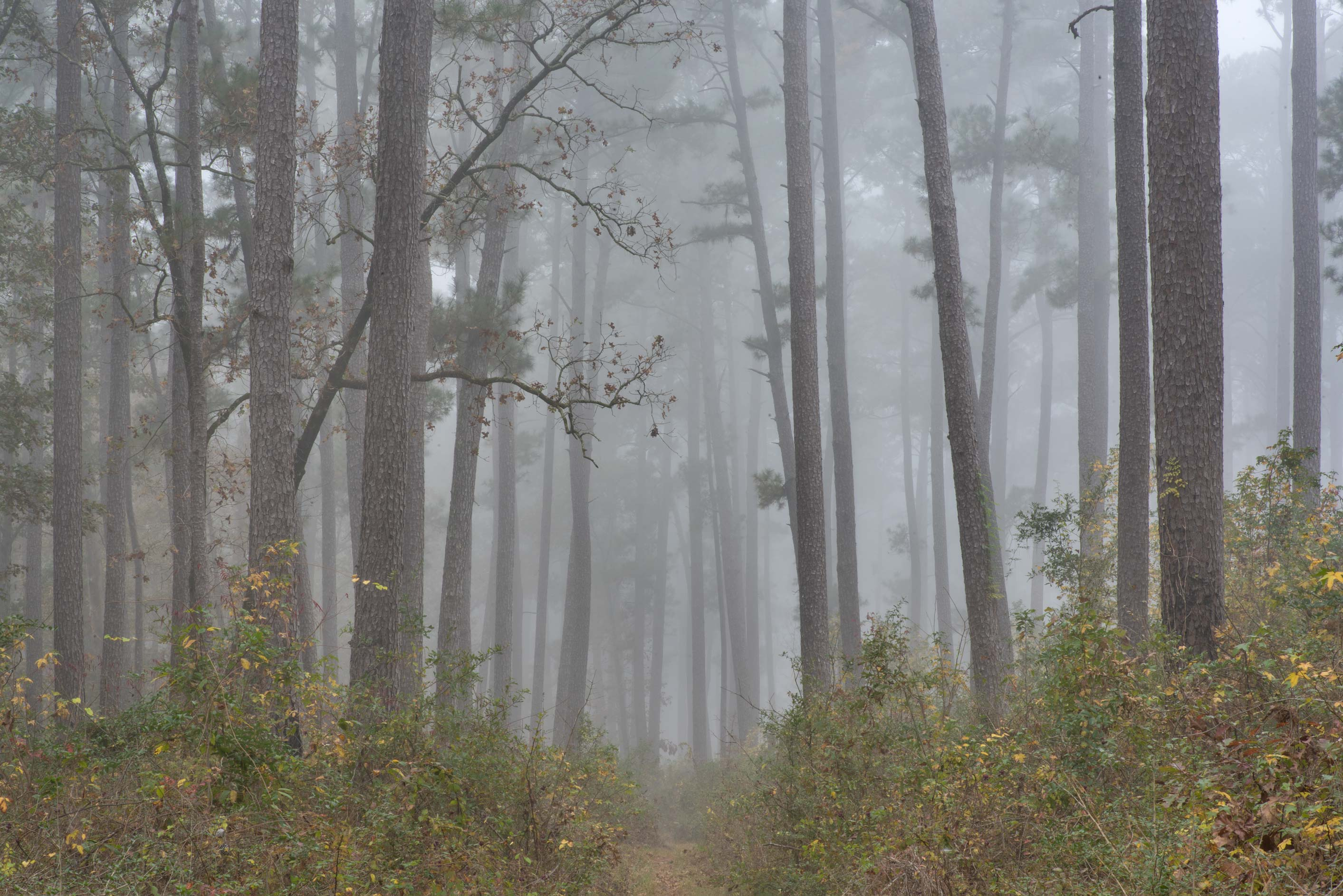 Pine forest in fog south-west from Trail Head No...Forest, north from Montgomery. Texas