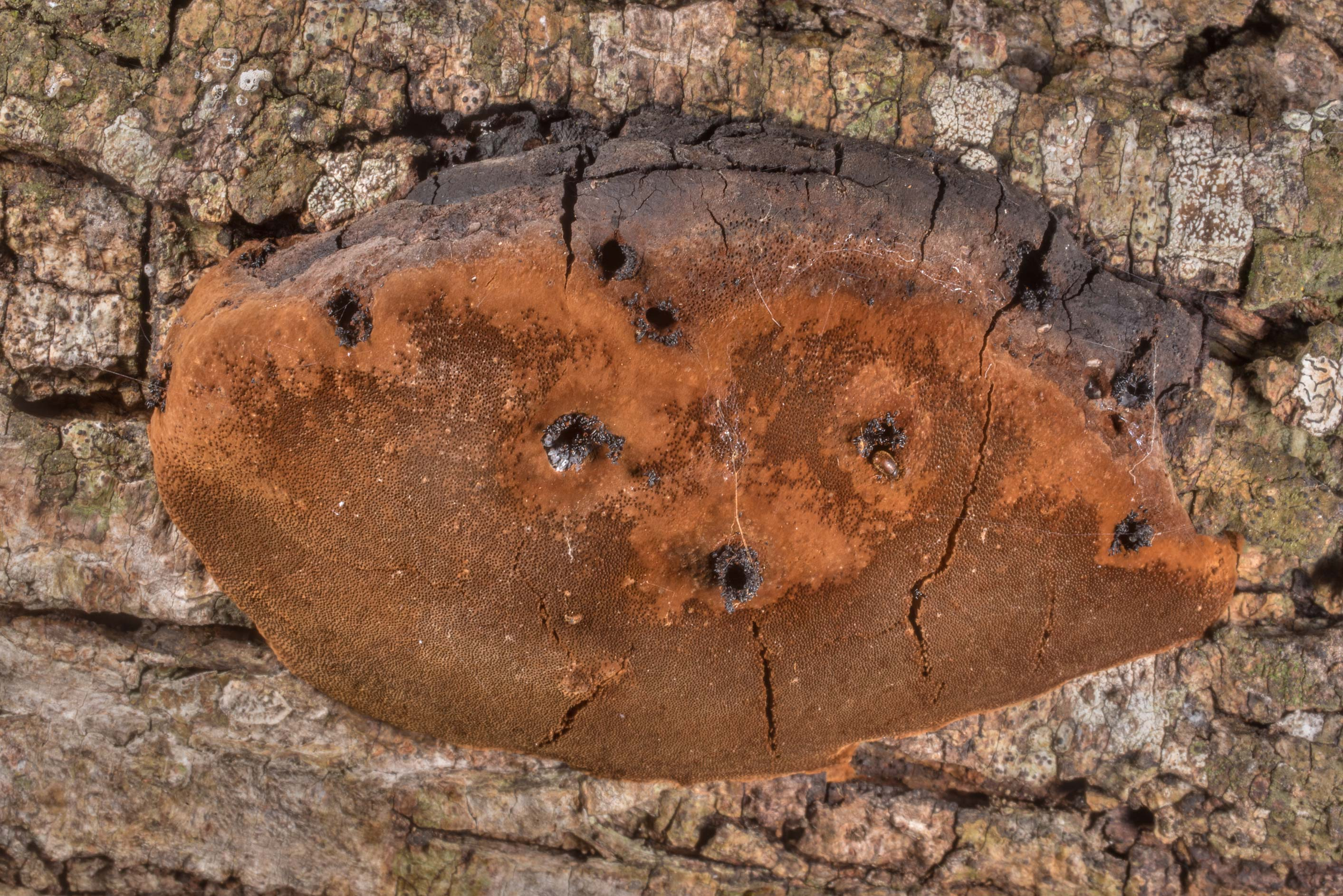 Underside of bracket polypore mushroom Phellinus...State Historic Site. Washington, Texas