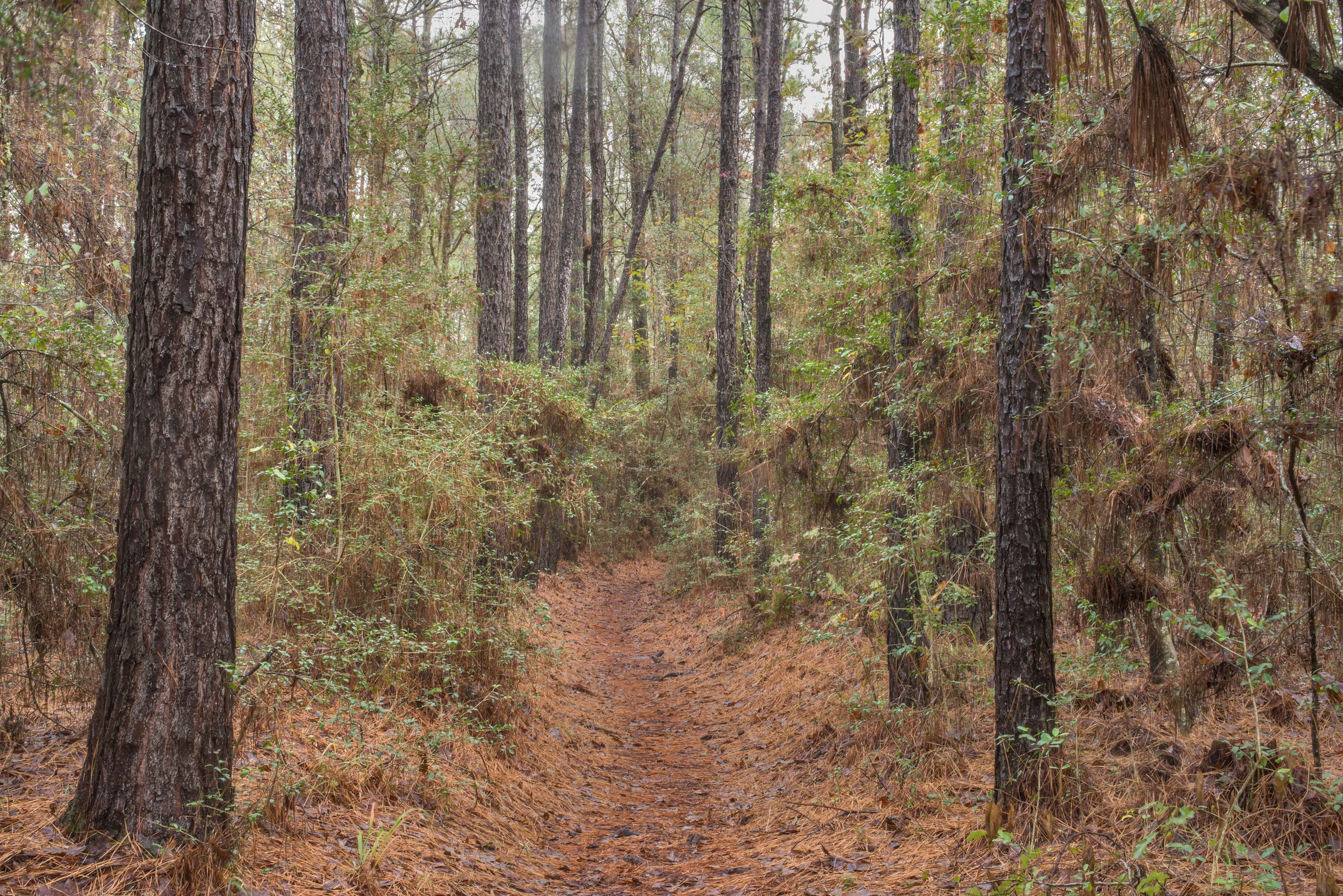 Pine forest on Little Lake Loop Trail in Sam...Head No. 4, near Montgomery. Texas