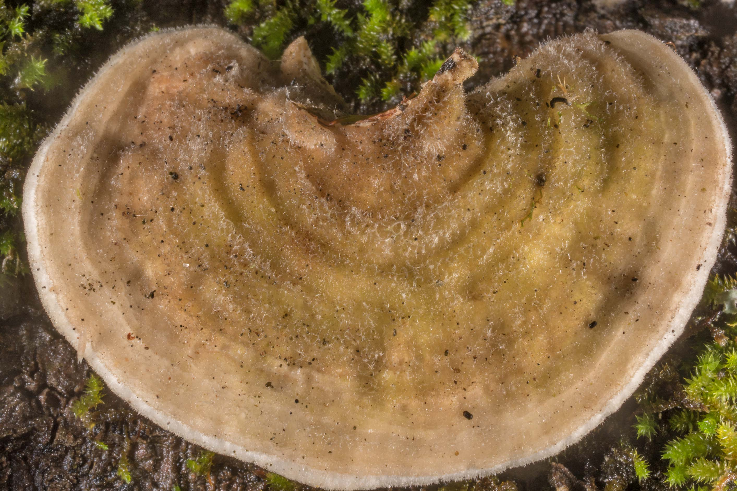 Hairy cap surface of polypore mushroom Trametes...Head No. 4, near Montgomery. Texas