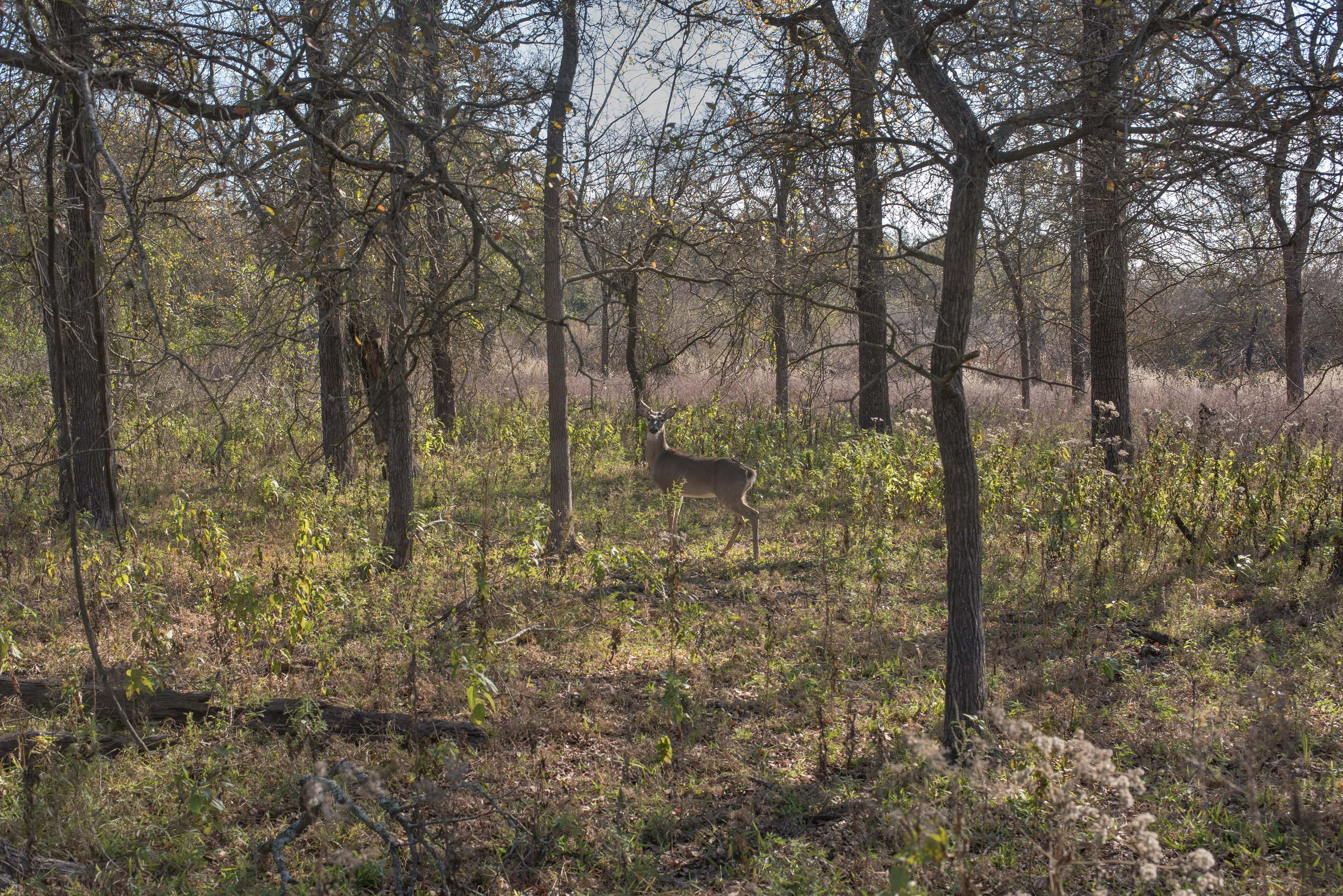 Deer in an oak forest at Lake Somerville Trailway...of Somerville Lake State Park. Texas
