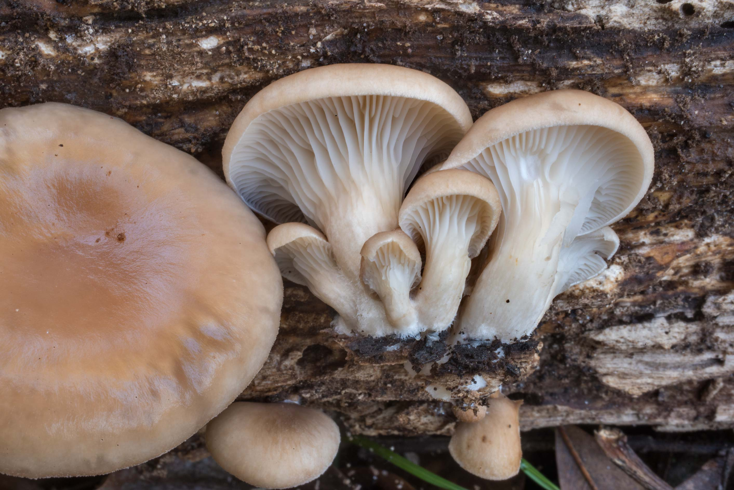 Young oyster mushroom (Pleurotus ostreatus) on a...Forest north from Montgomery. Texas