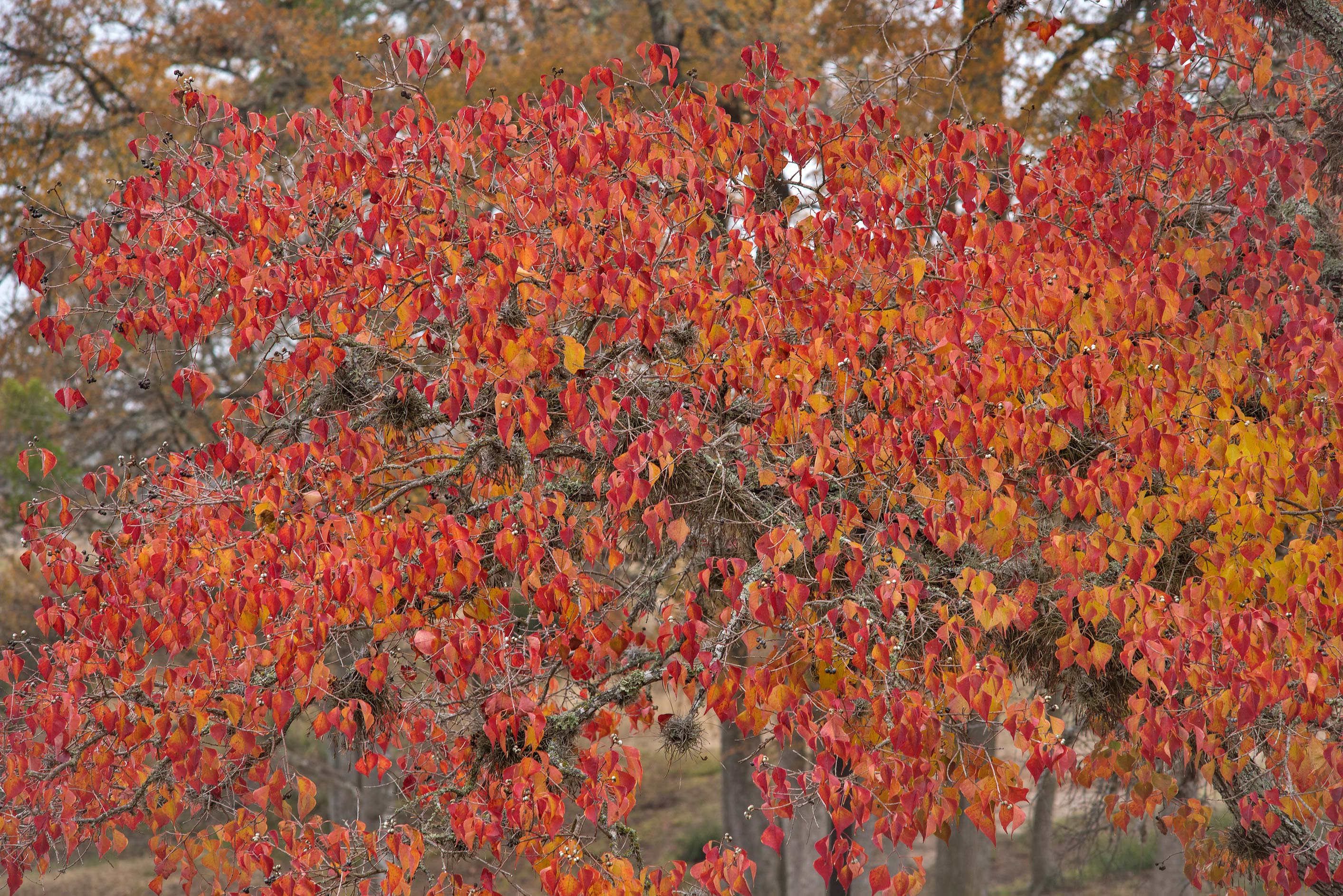 Red foliage of Chinese tallow in Research Park on...M University. College Station, Texas