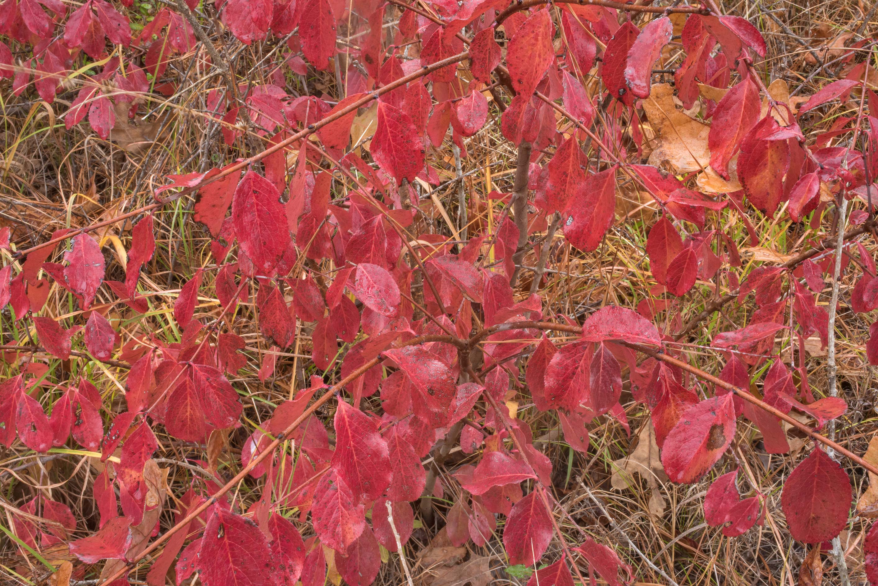 Red leaves of rusty blackhaw viburnum (Viburnum...in Sam Houston National Forest. Texas