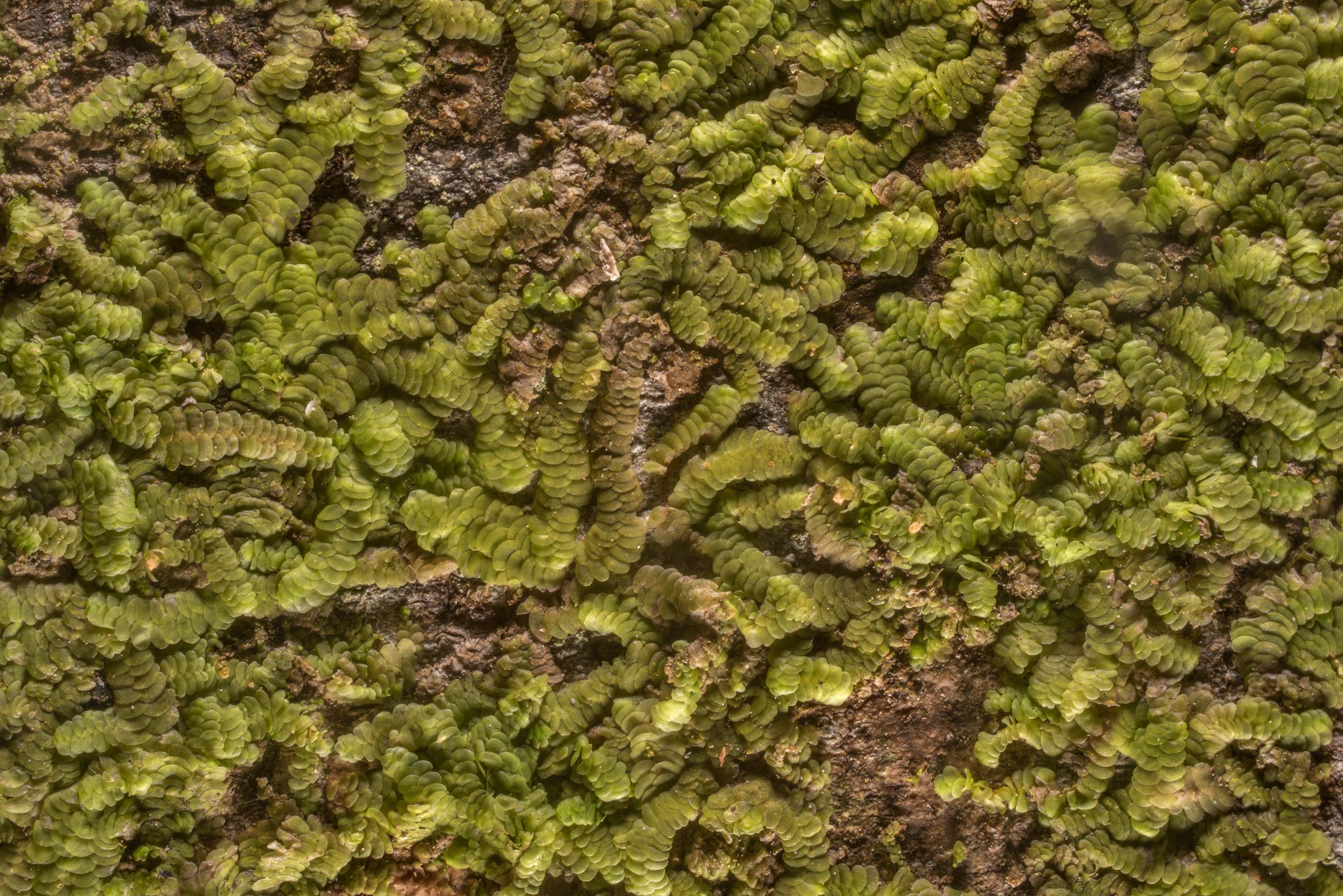 Tiny green liverwort on smooth tree bark in Huntsville State Park. Texas