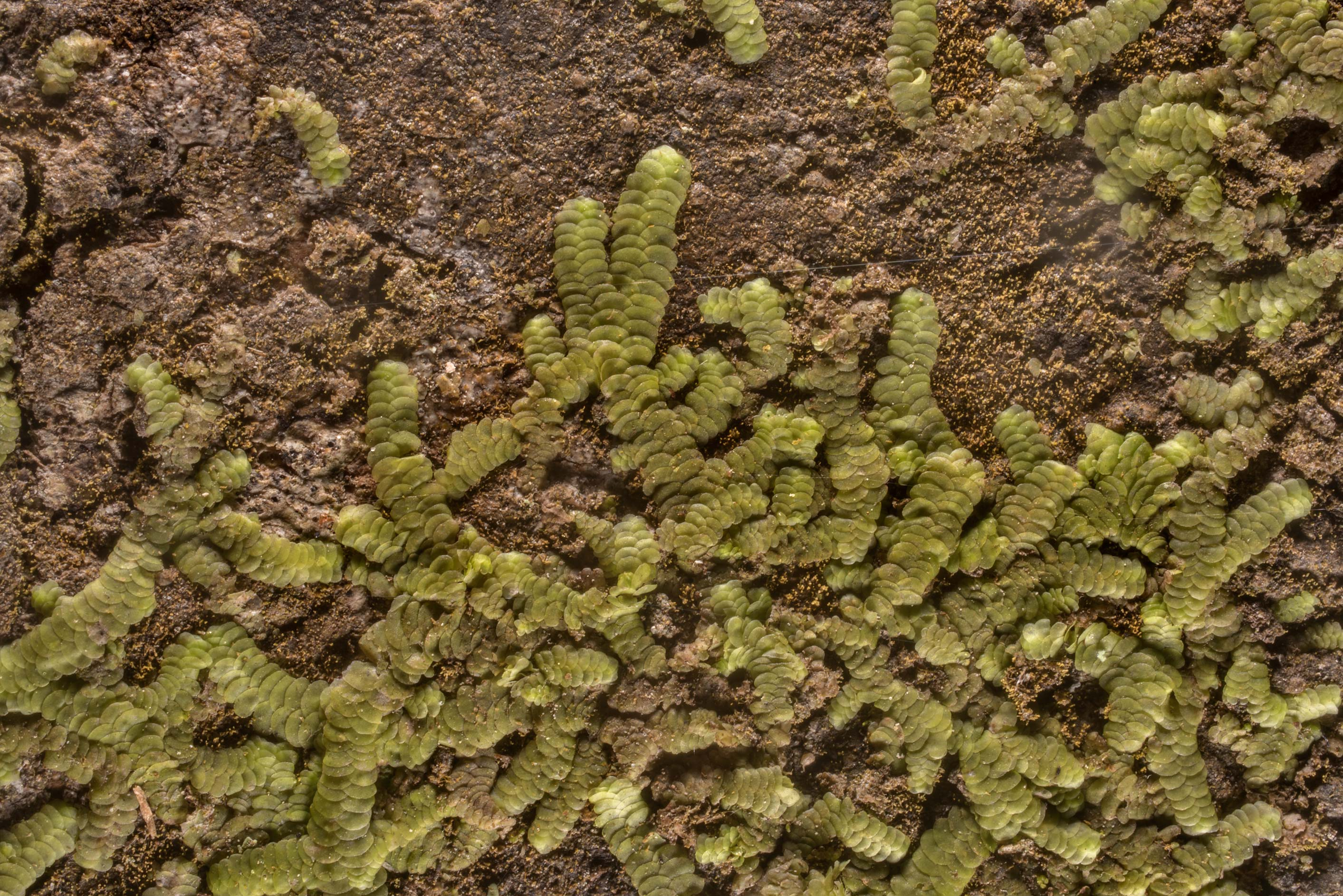 Close-up of tiny green liverwort on smooth tree bark in Huntsville State Park. Texas