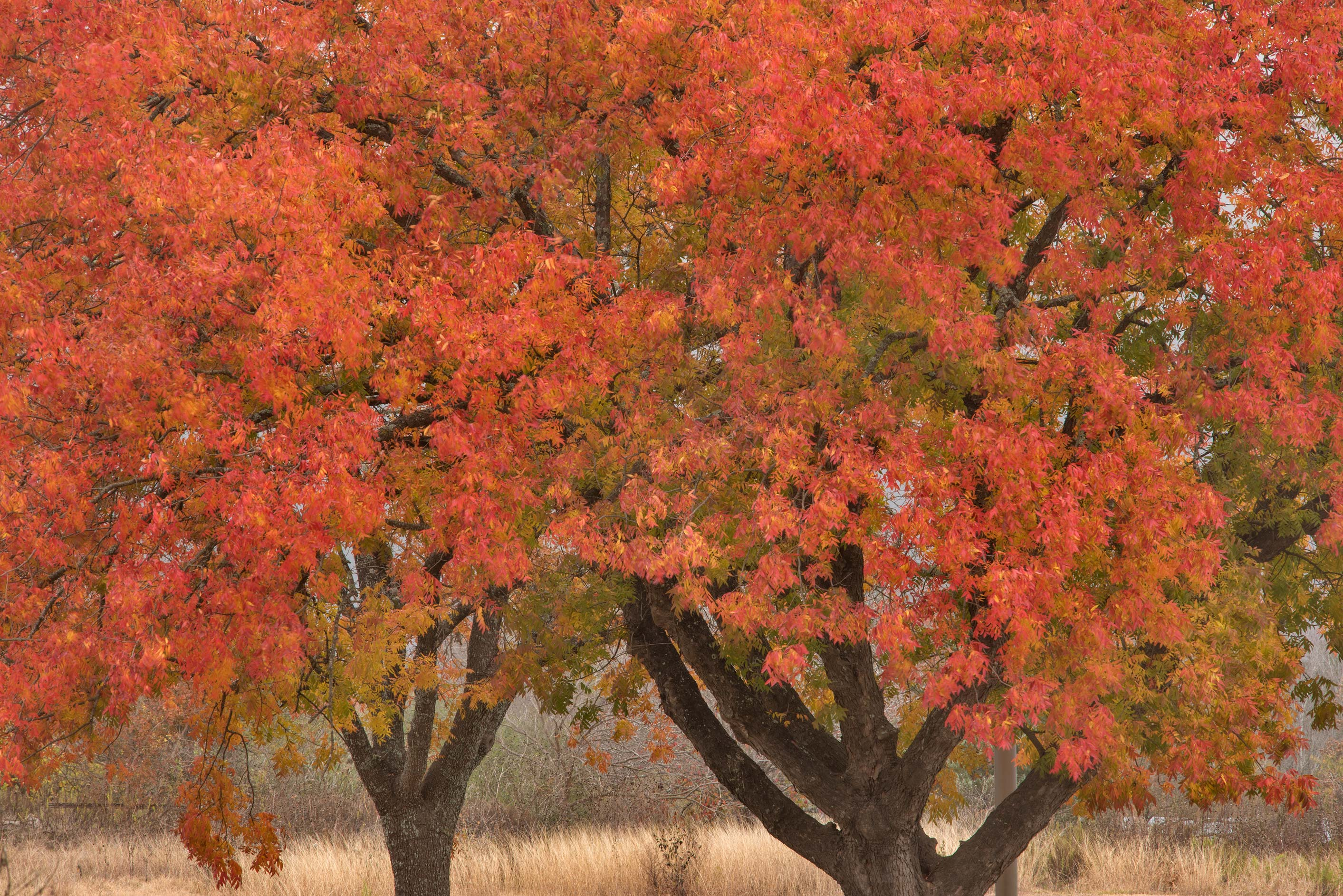 Fall foliage of Chinese Pistache (Pistacia...on Hensel Dr.. College Station, Texas