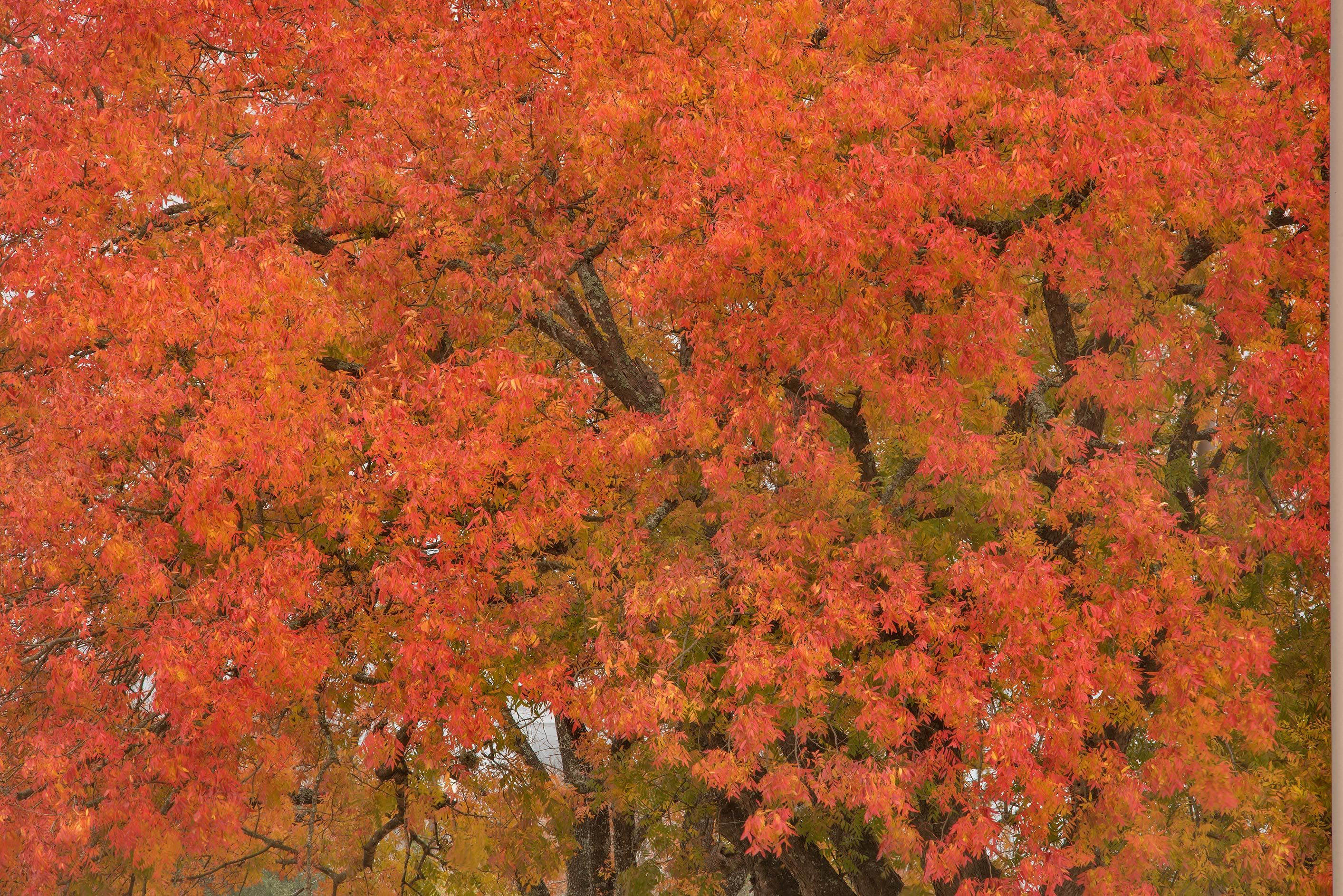 Brilliant red and orange color fall foliage of...on Hensel Dr.. College Station, Texas