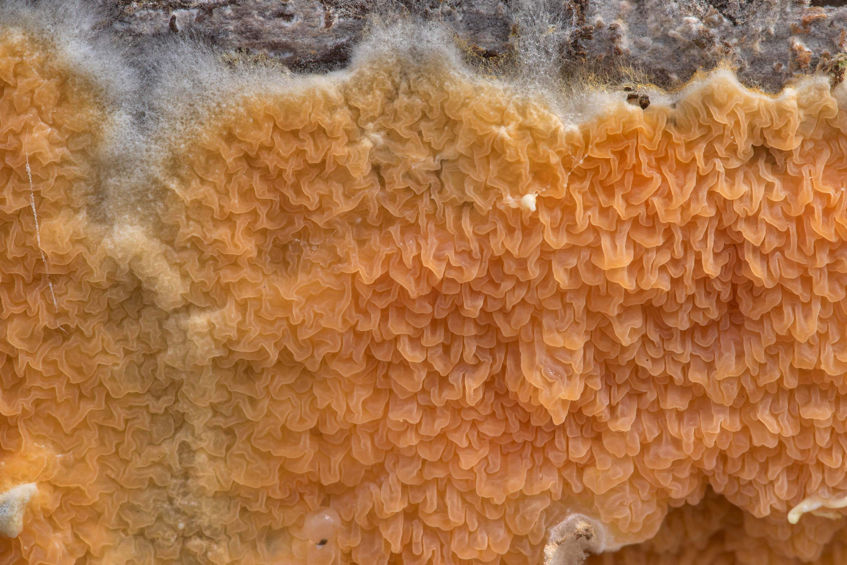 Texture of warped crust fungus Leucogyrophana...Forest north from Montgomery. Texas