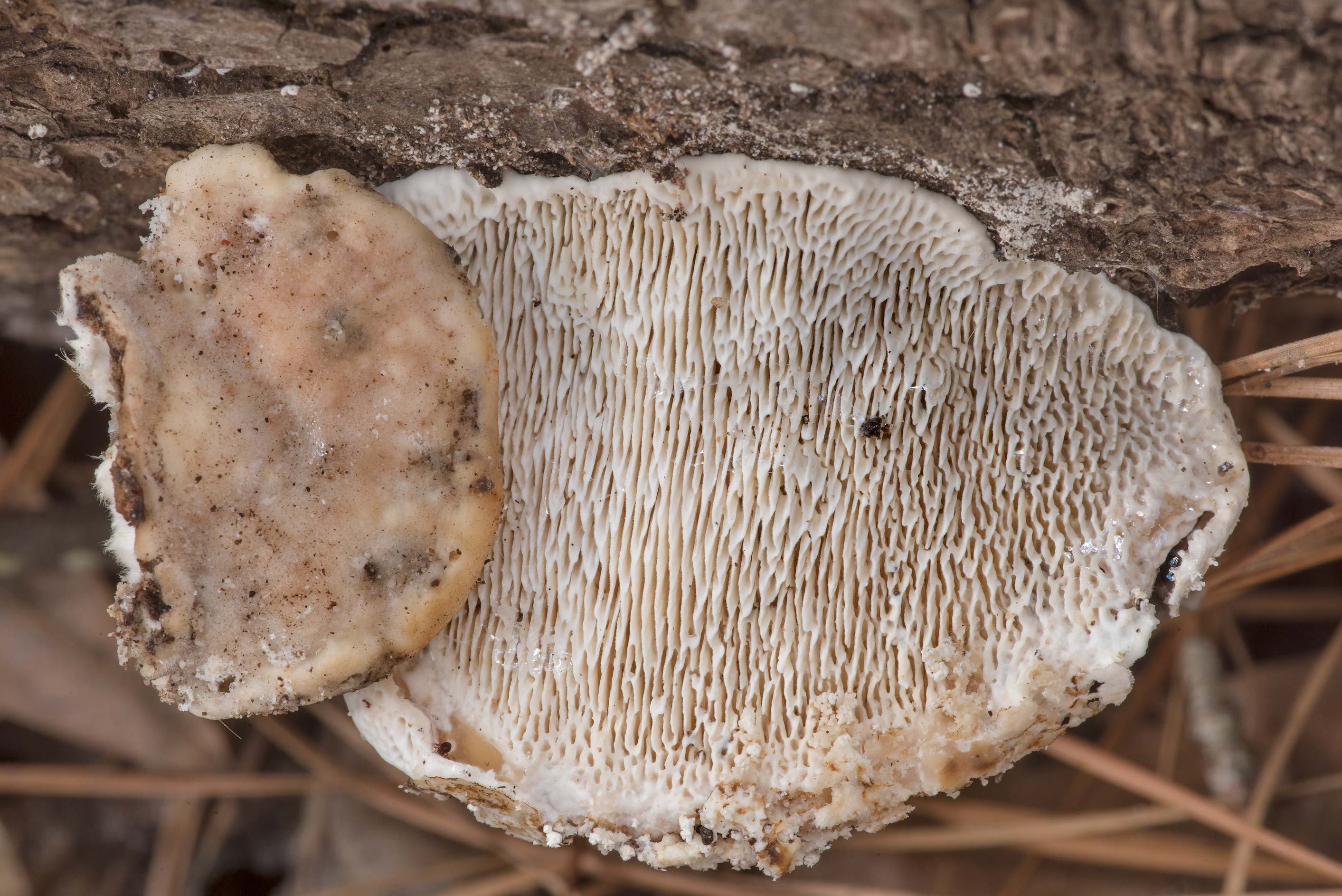 Lumpy bracket mushrooms (Trametes gibbosa) on an...Forest north from Montgomery. Texas