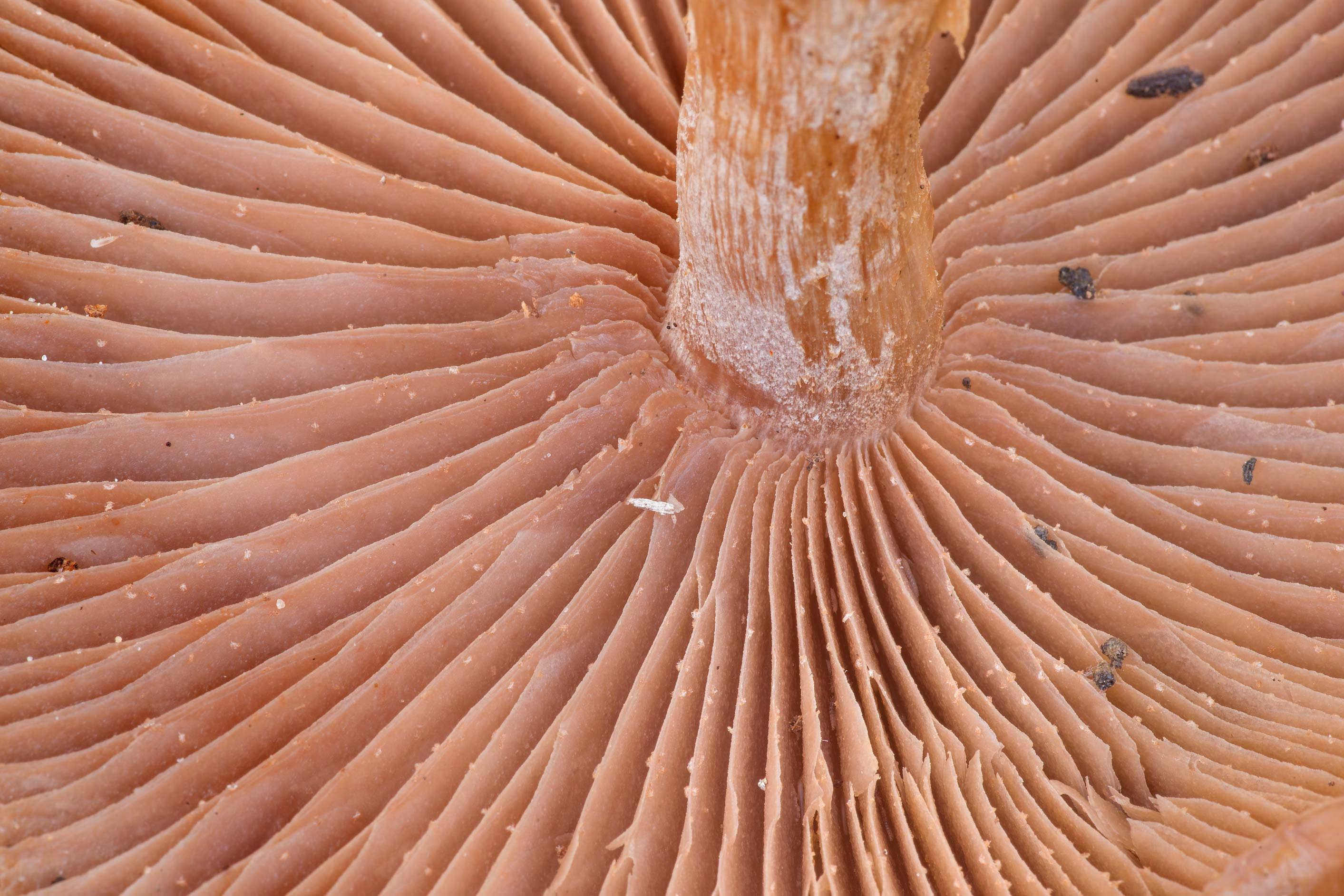Gills of large watery Lepista mushrooms on a...Forest, near Montgomery. Texas
