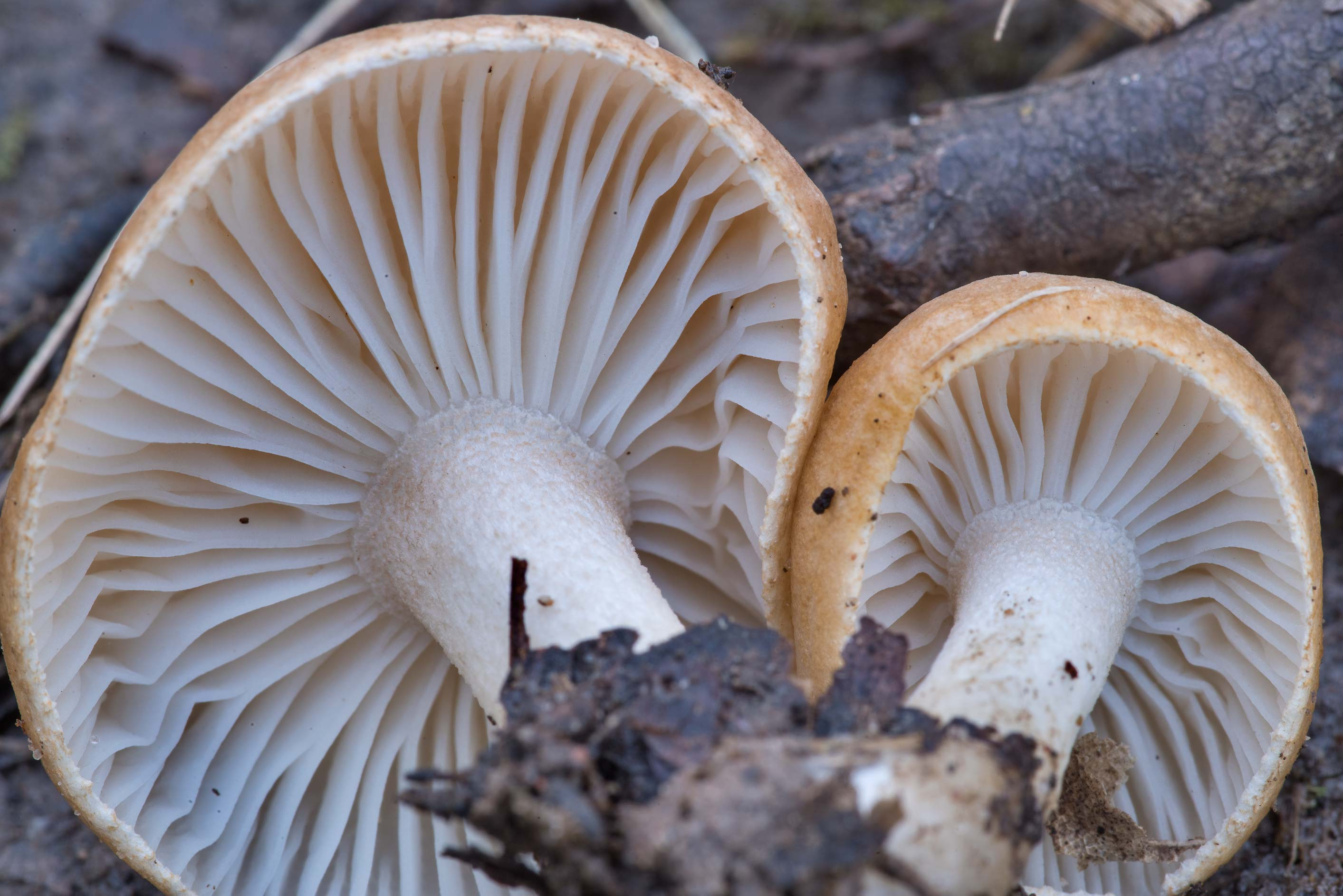 Close-up of rosy brown waxy cap mushrooms...Forest north from Montgomery. Texas