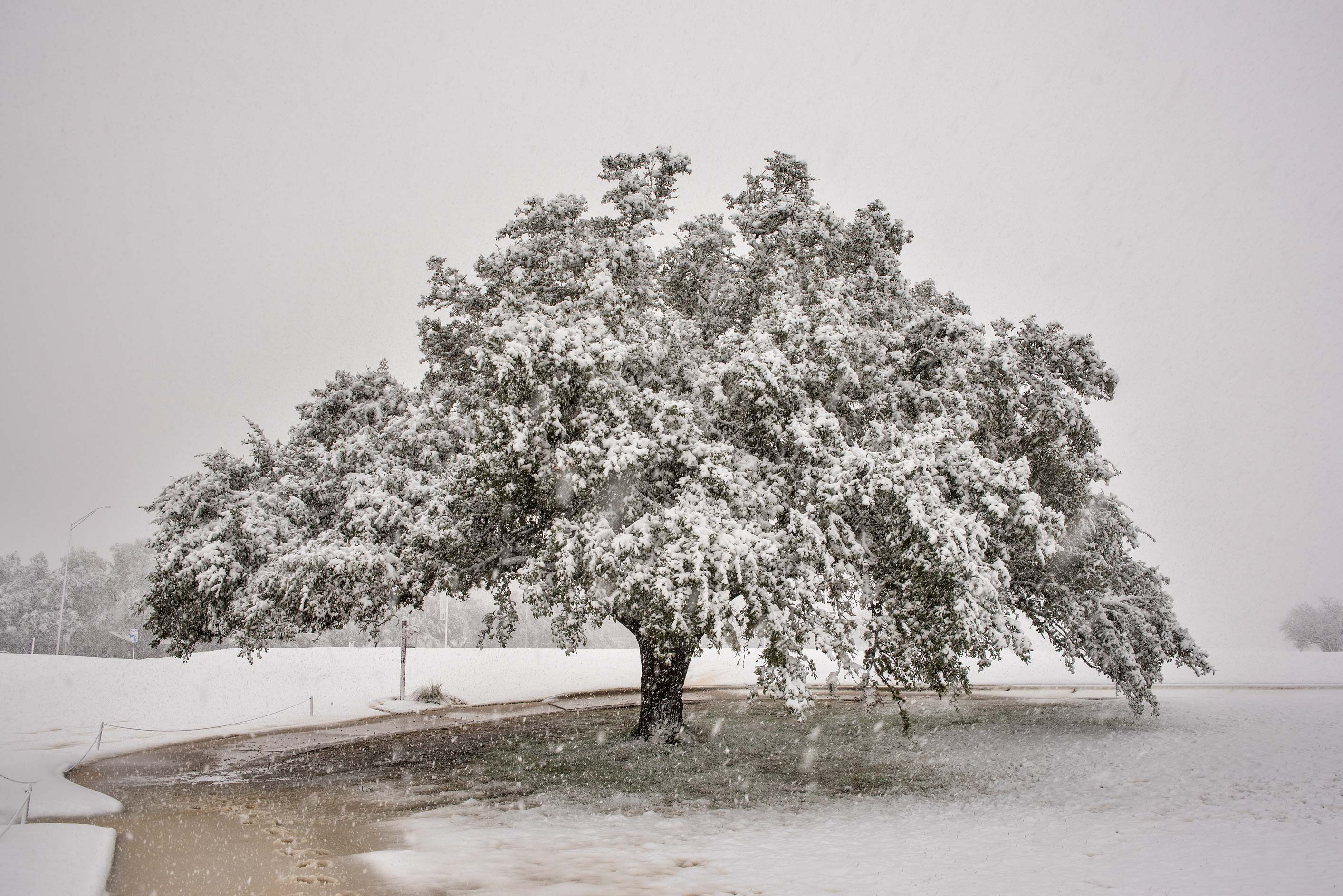 Live oak in snow near on the university golf cource. College Station, Texas