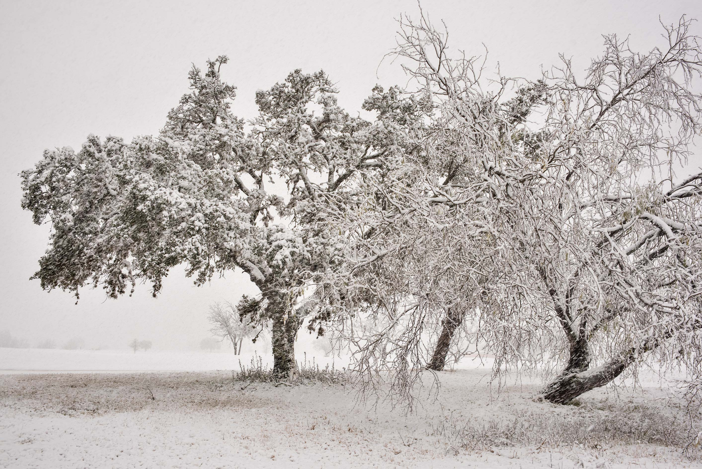 Group of trees in wet snow near on the university golf cource. College Station, Texas