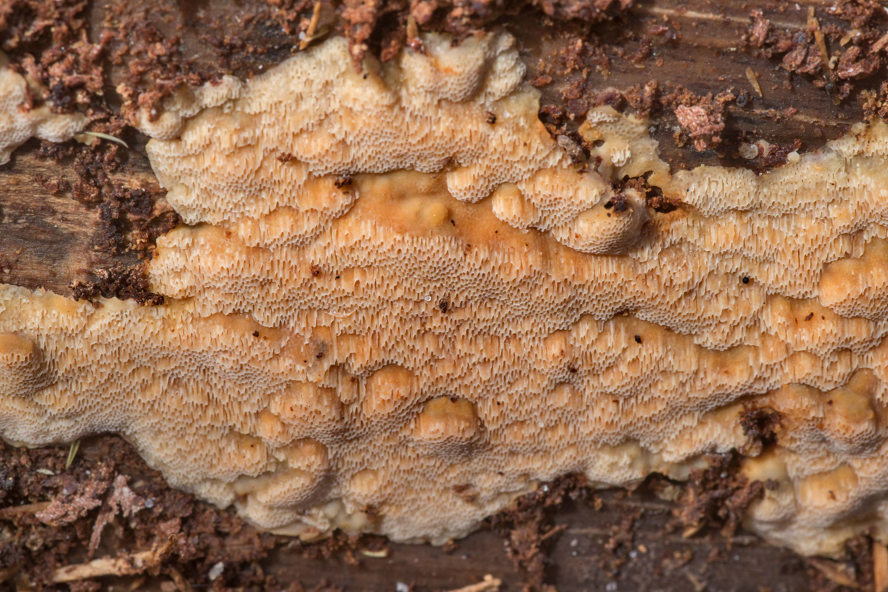 Details of brown resupinate polypore mushroom on...National Forest. Shepherd, Texas