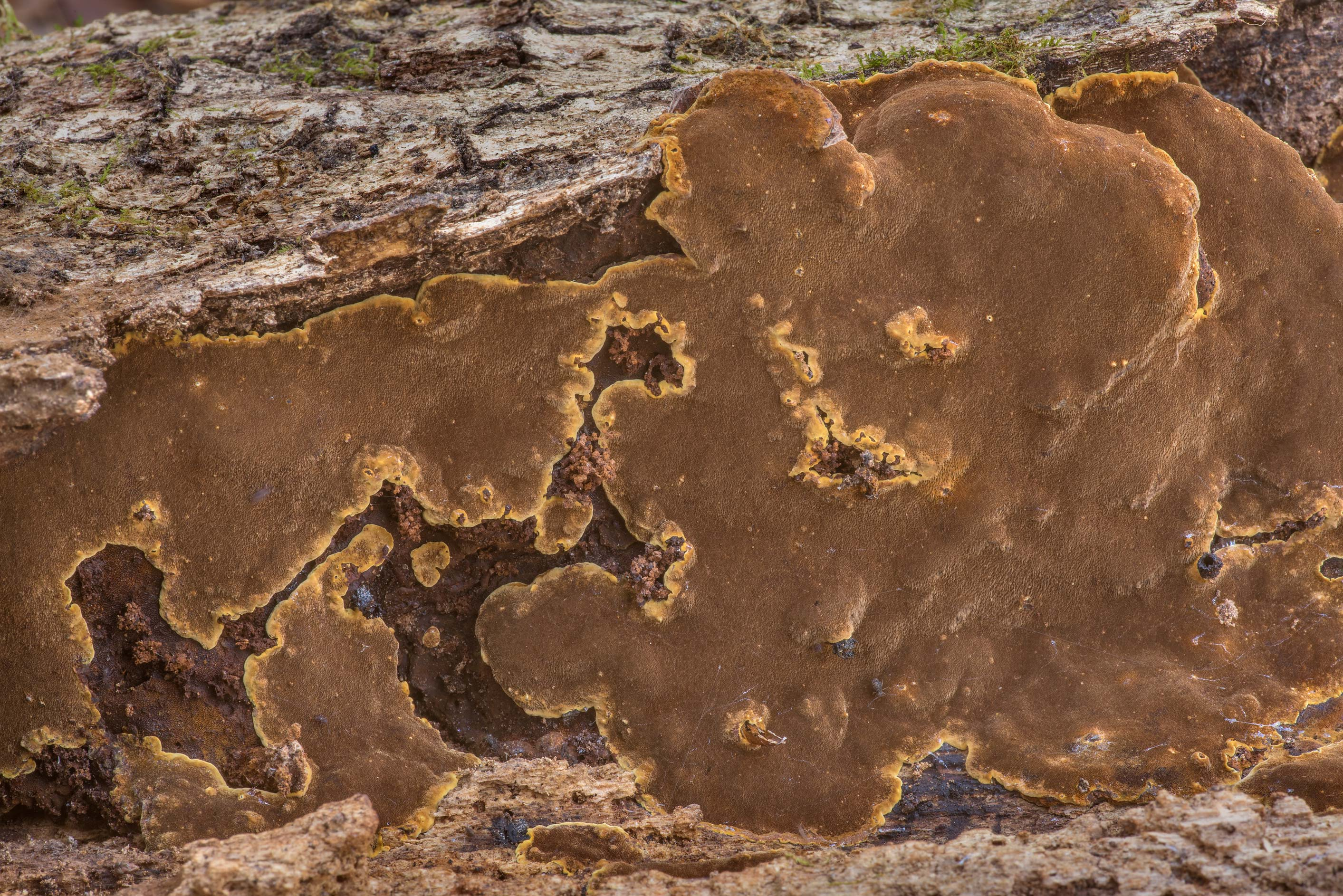 Brown resupinate polypore mushroom Fuscoporia...Forest north from Montgomery. Texas
