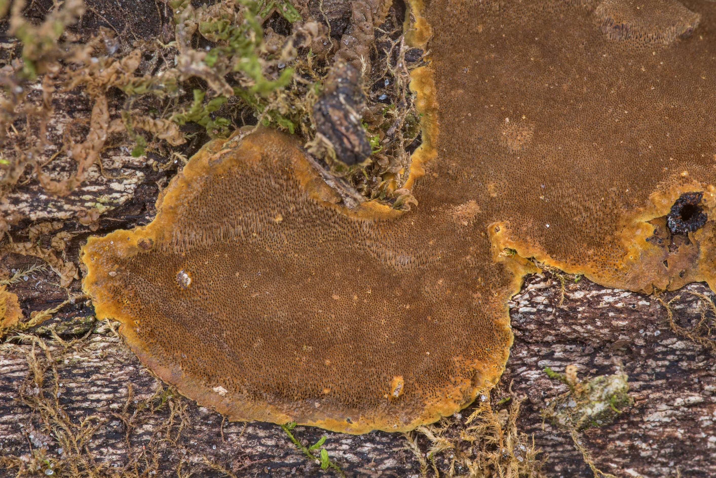 Close-up of brown resupinate polypore mushroom...Forest north from Montgomery. Texas