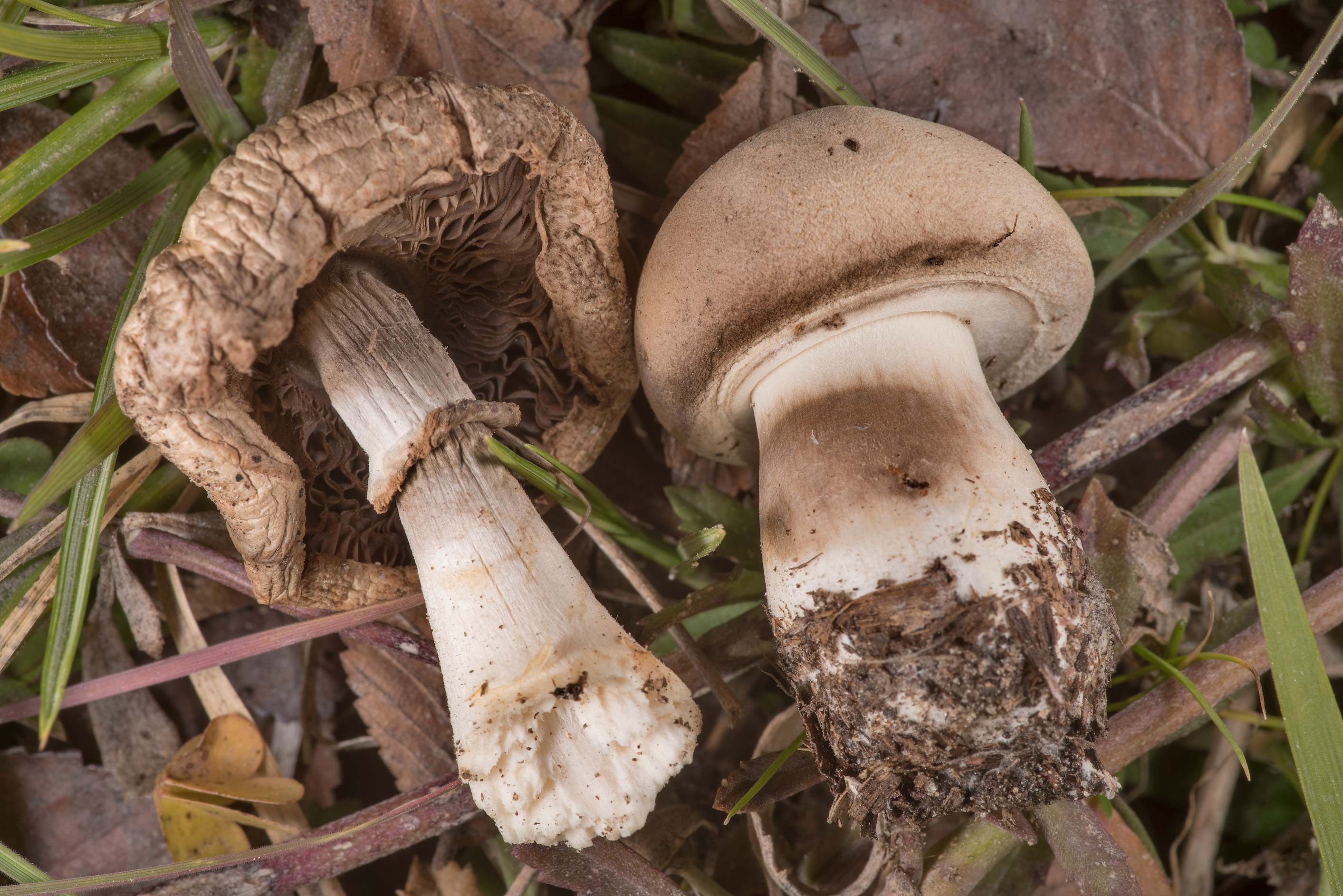 Fieldcap (Agrocybe) mushrooms in grass near a...of Somerville Lake State Park. Texas