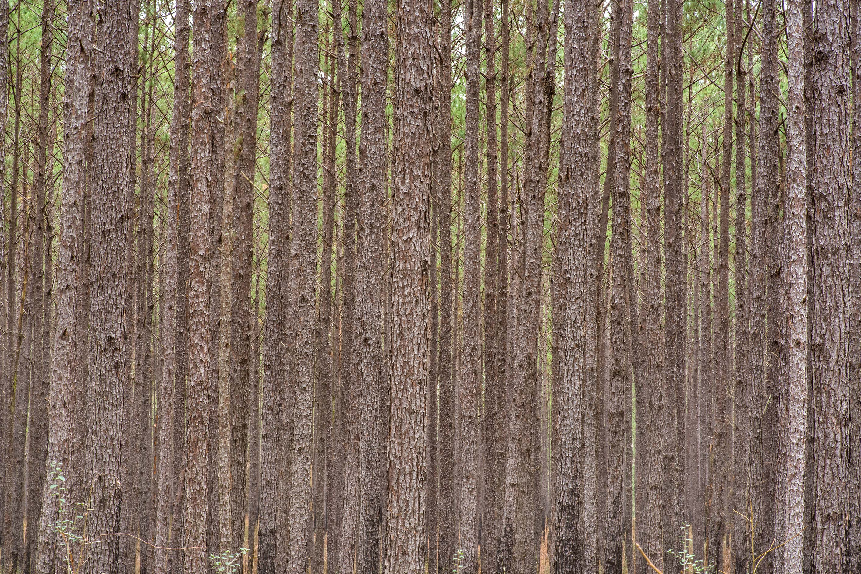 Dense pine forest on Sand Branch Loop Trail in...National Forest near Montgomery. Texas